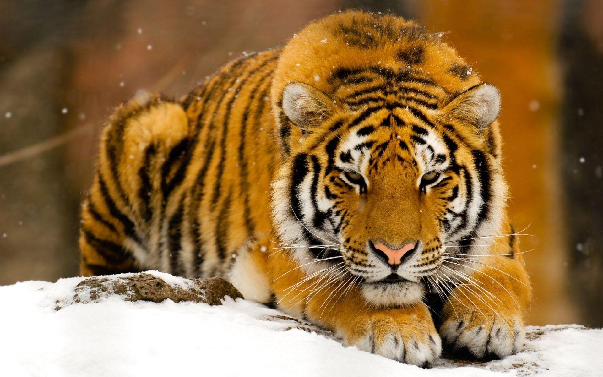 Tiger, Wallpaper Theme