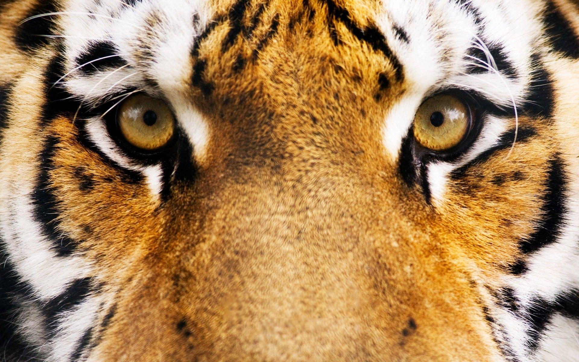 Tiger's face, HD Wallpaper