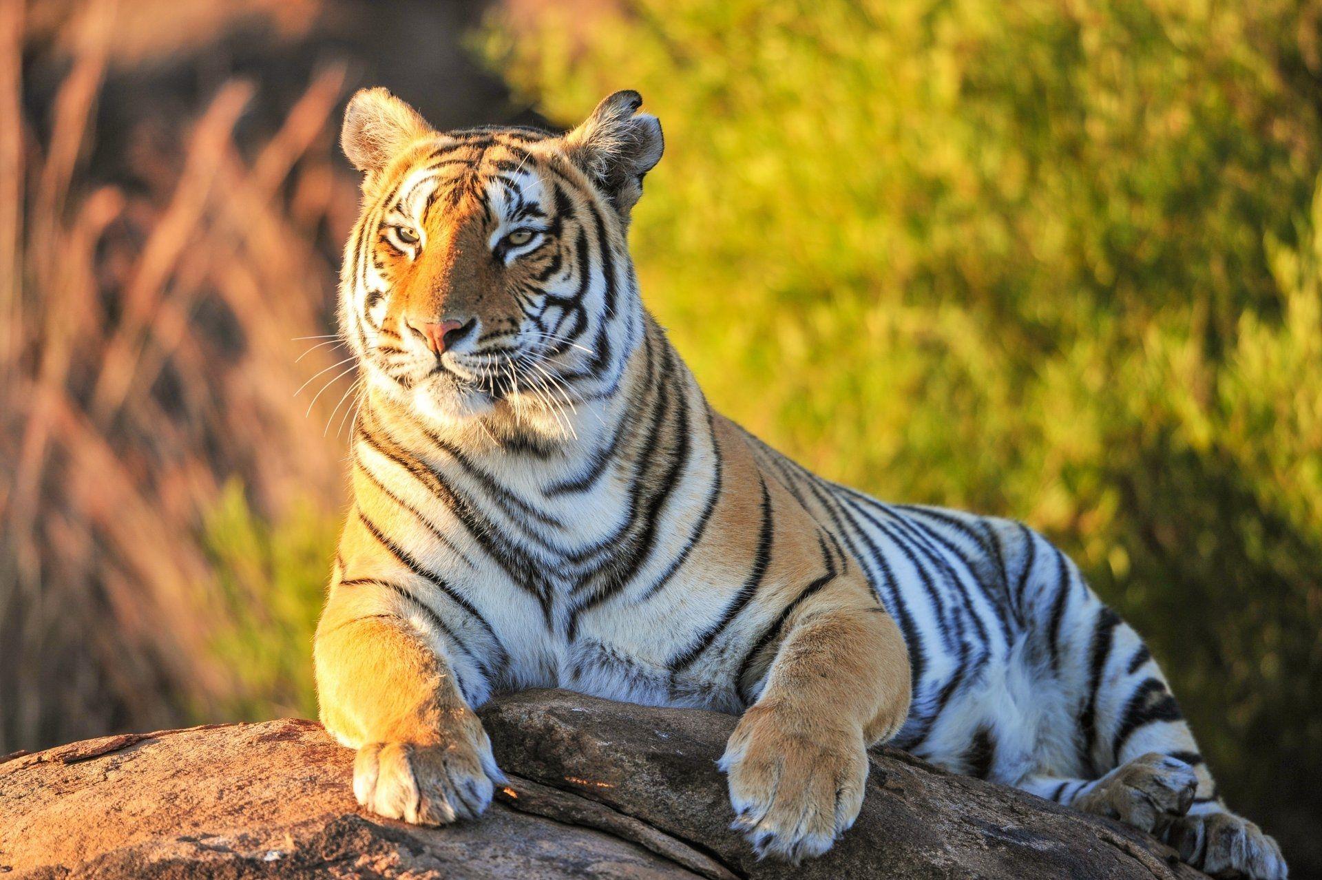 Tiger, Cool HD Wallpaper