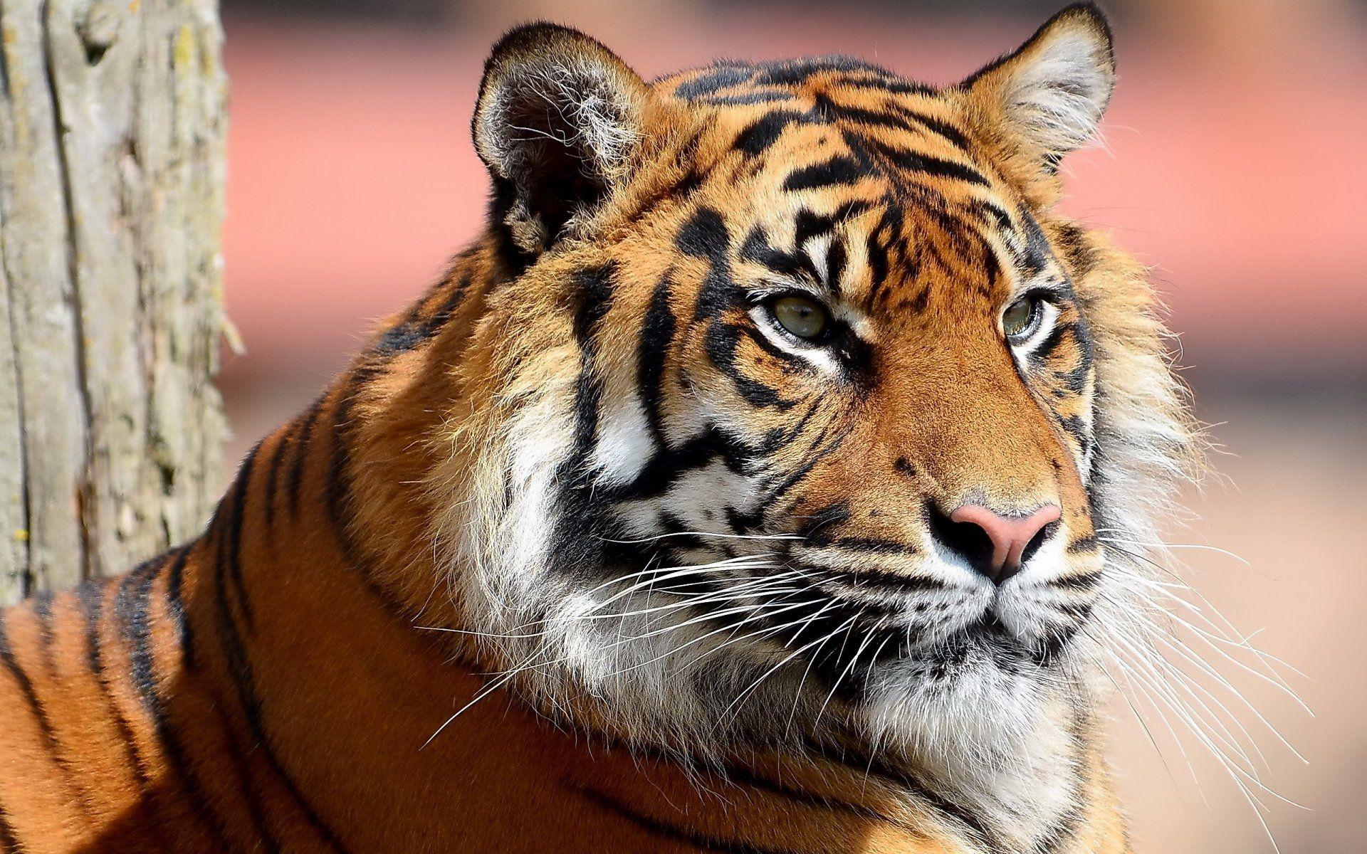 Tiger, 1080p Wallpaper