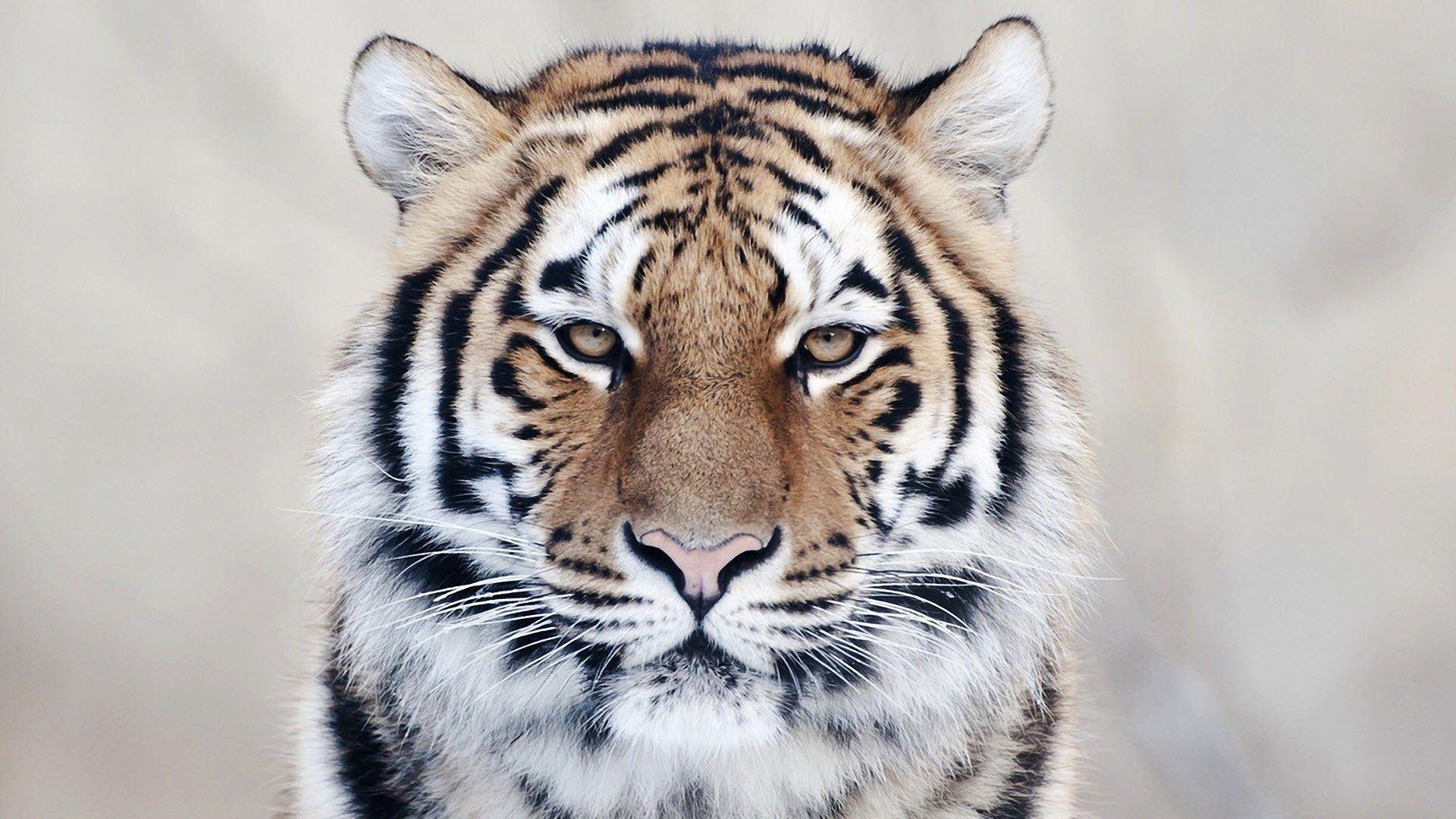 Tiger, Background Wallpaper