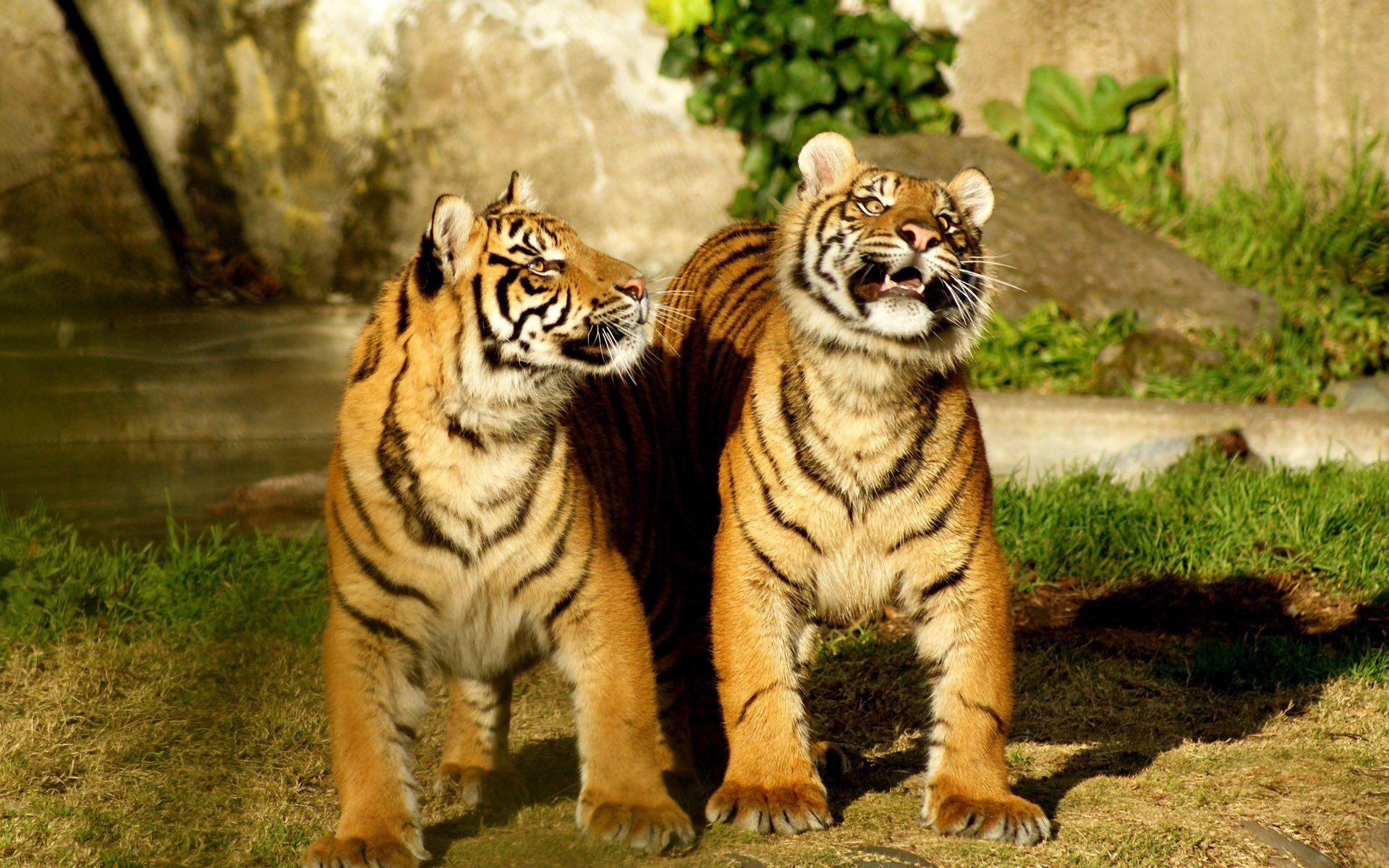 Two Tigers, Nice Wallpaper