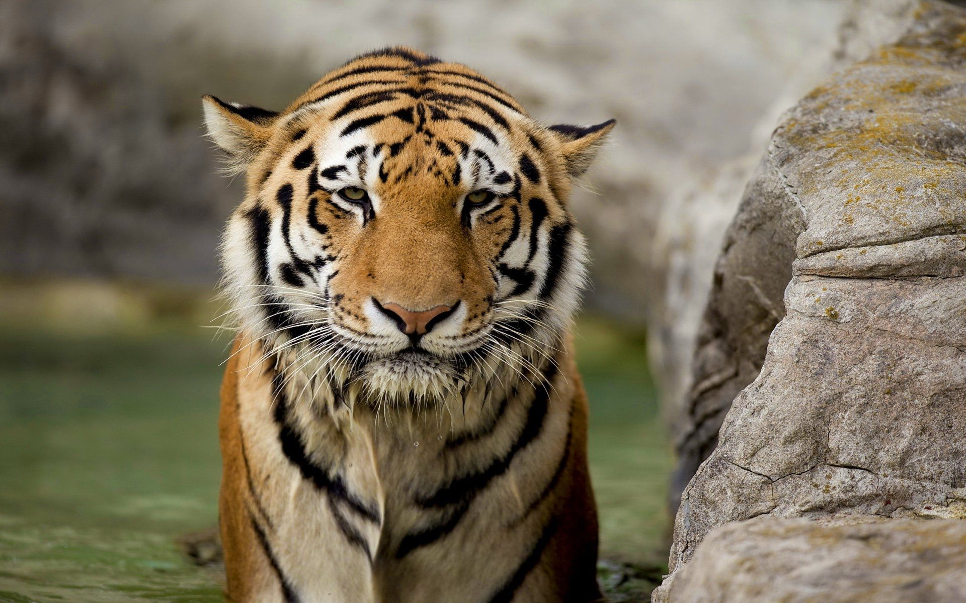 Tiger, Cool Wallpaper