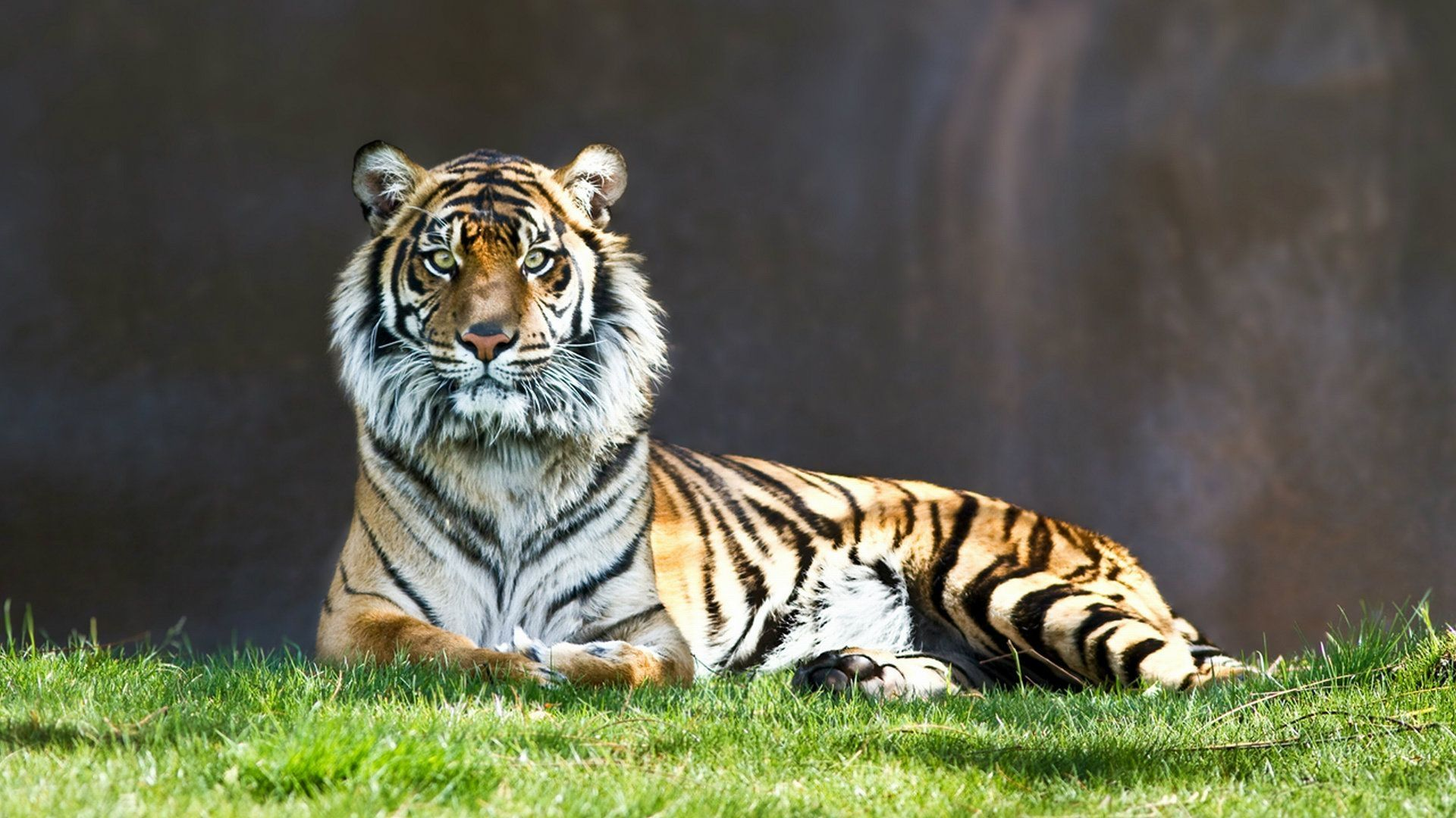 The tiger is lying on the grass, Cool Wallpaper