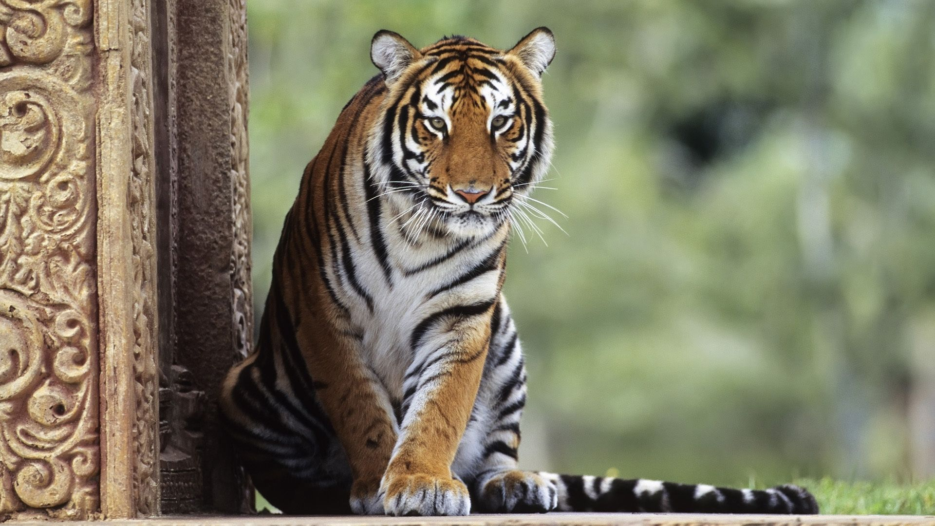 Tiger is watching, Picture