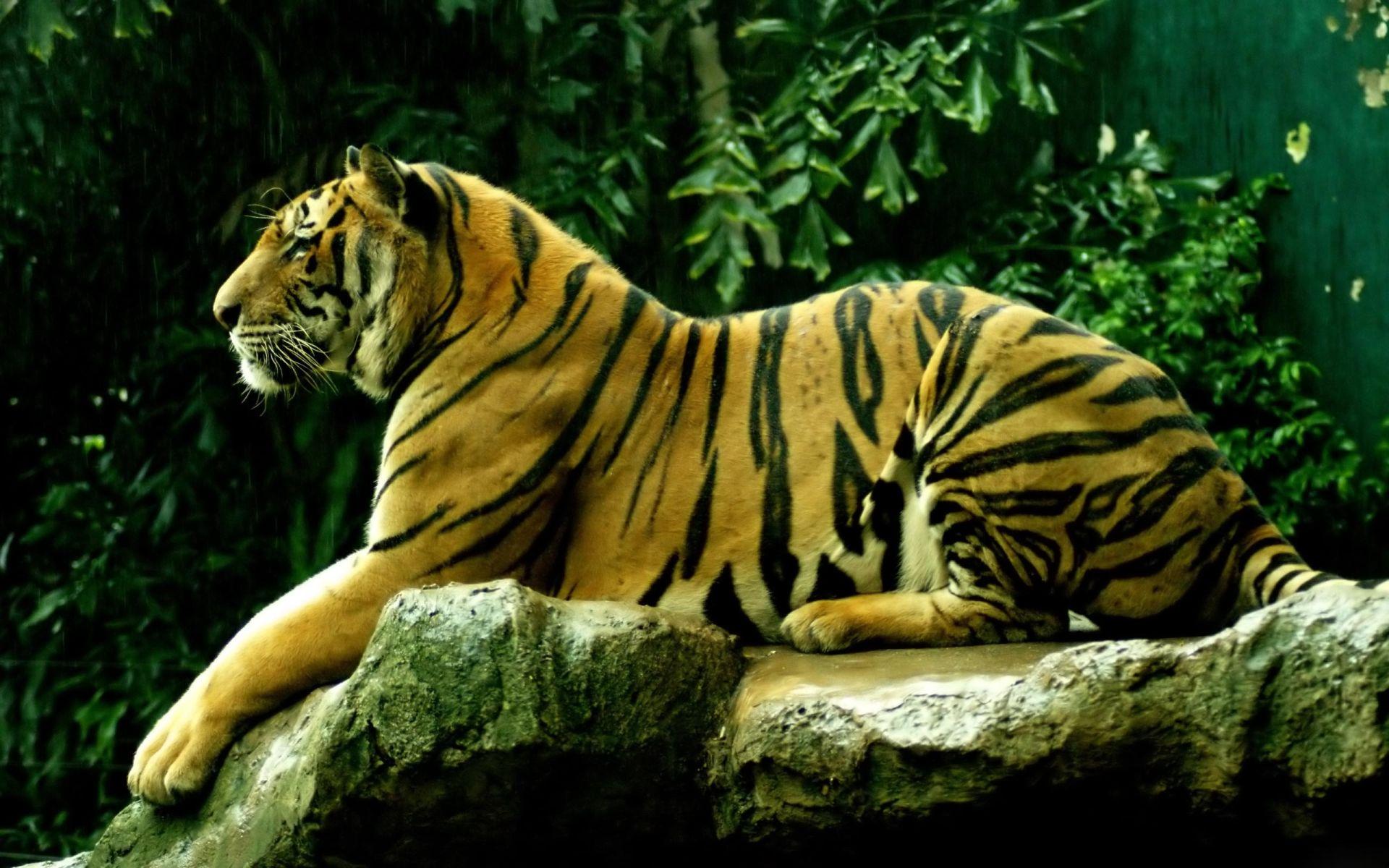 Tiger resting, Computer Wallpaper