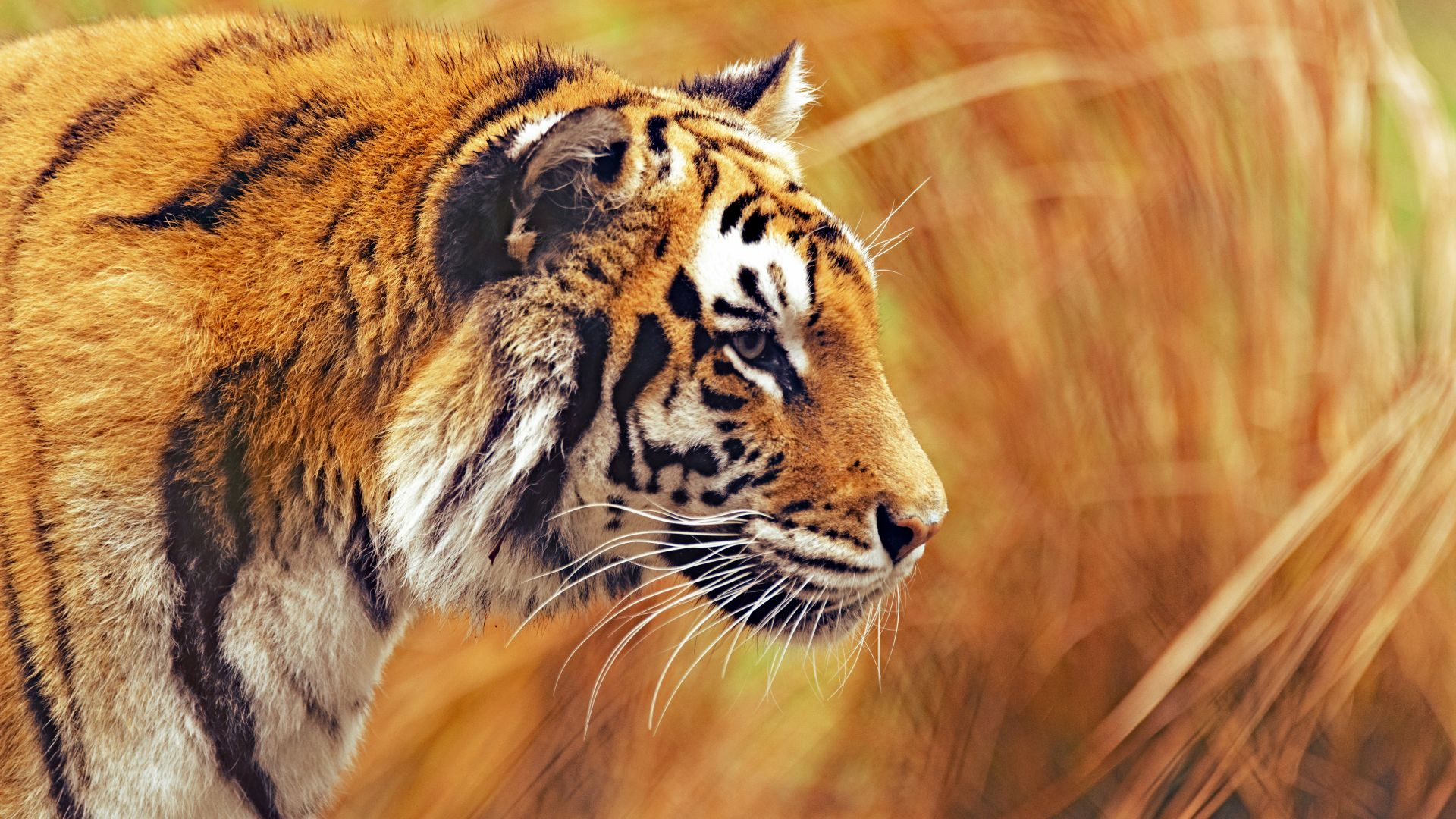 Tiger, Picture