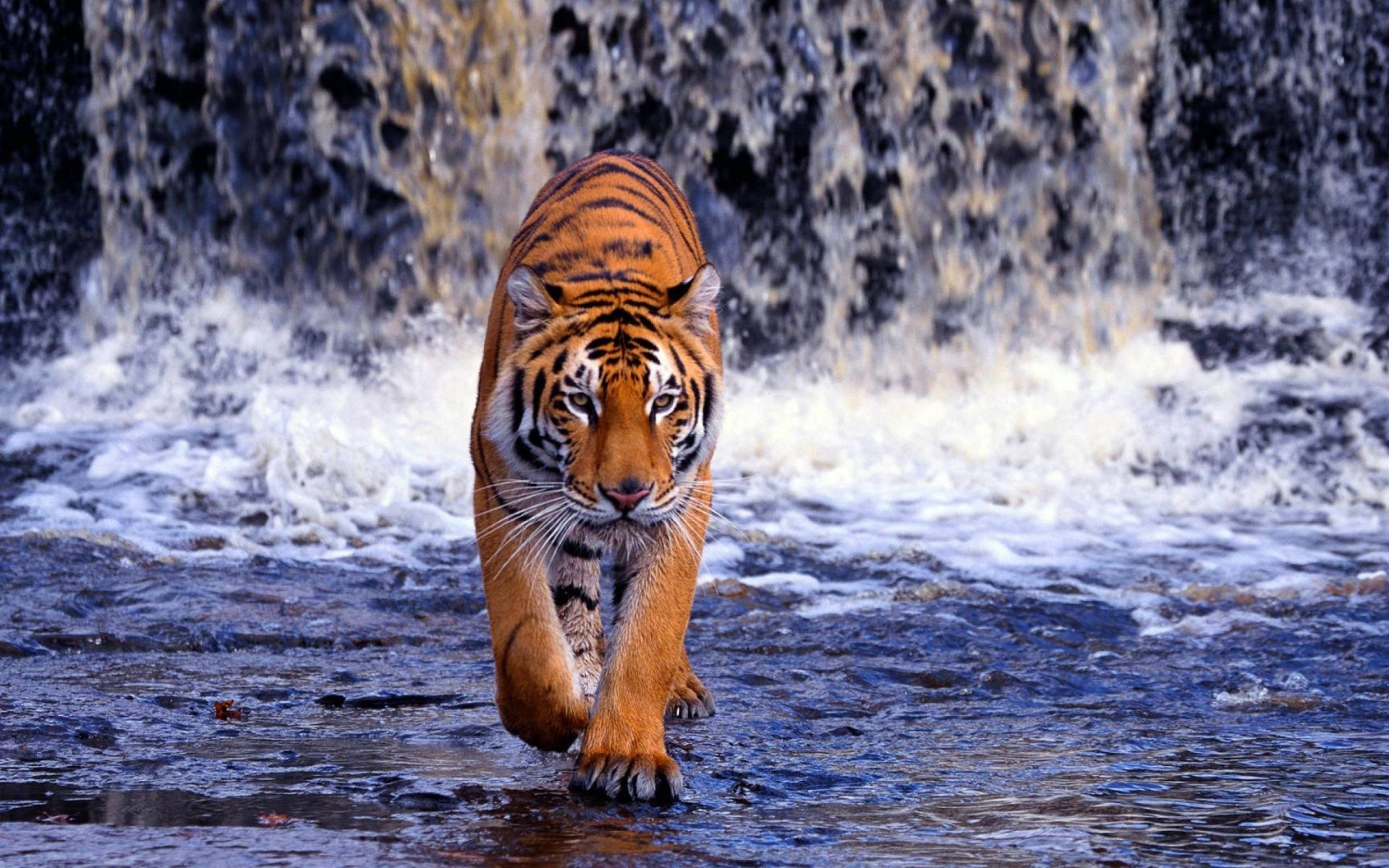Tiger is coming, Free Download Wallpaper