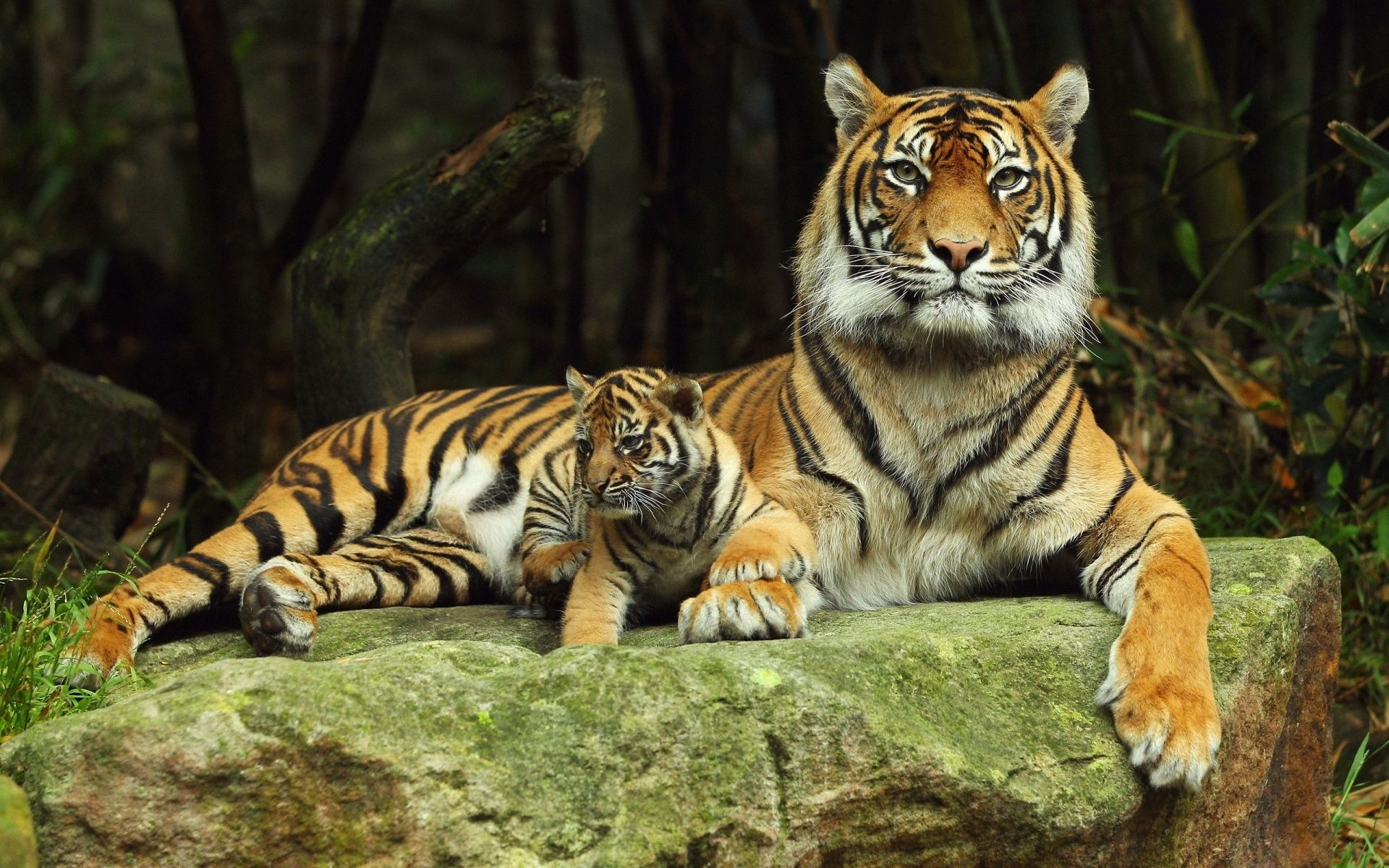 Tiger with baby tiger, Wallpaper