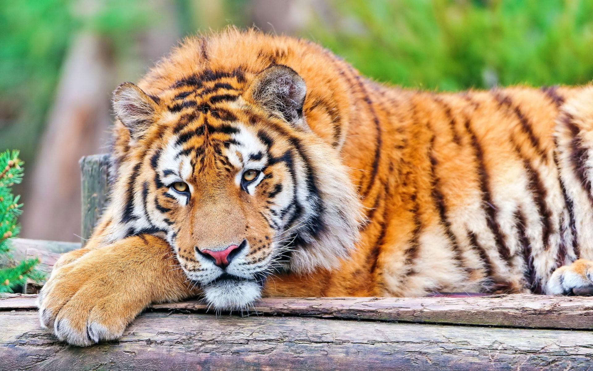 Tiger just resting, Desktop Wallpaper