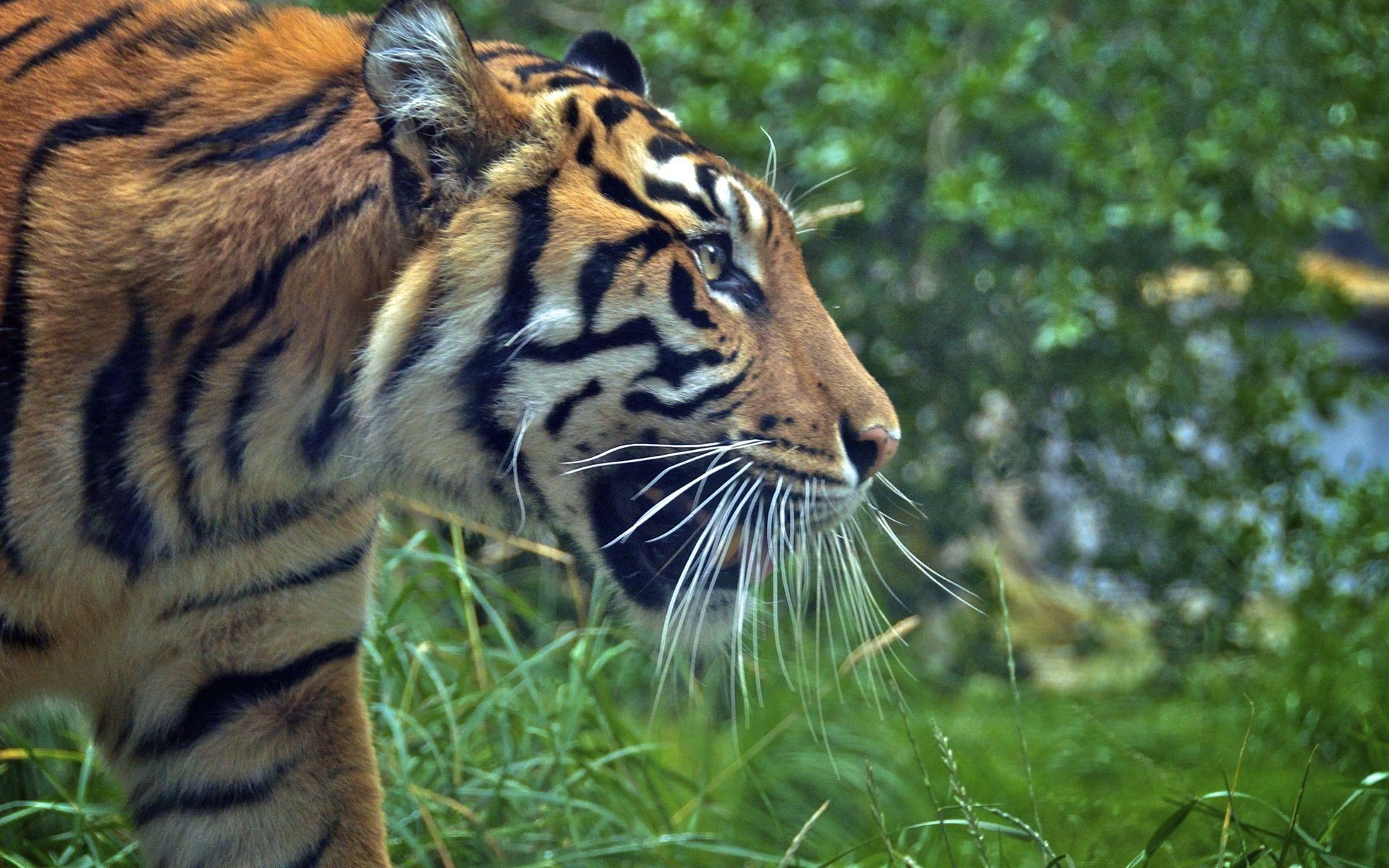 Tiger, New Wallpaper