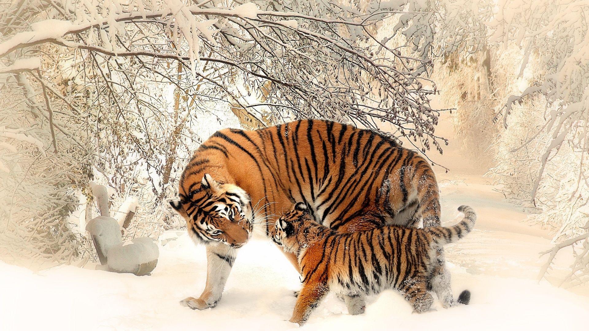 Tiger, Nice Wallpaper