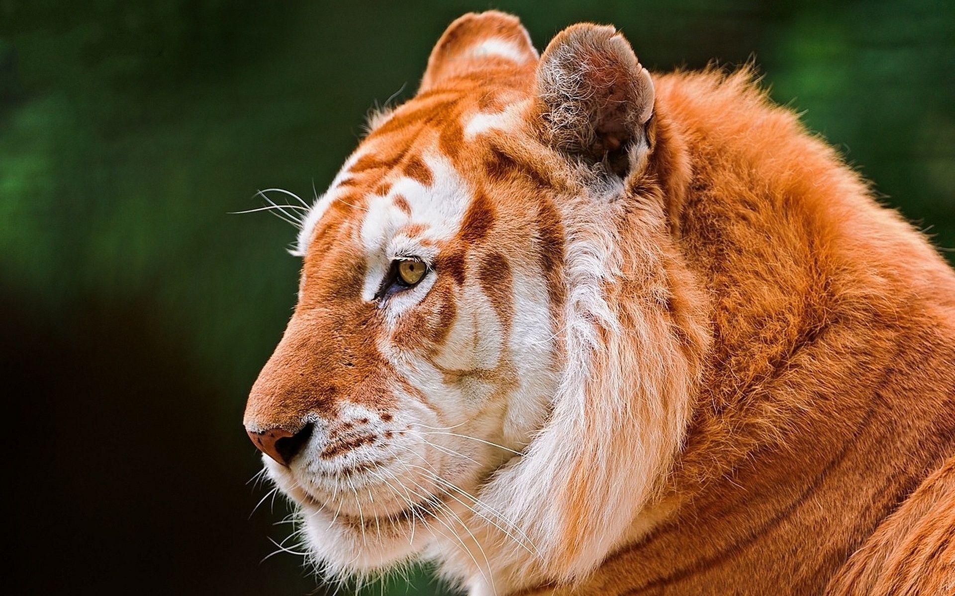 Tiger, HD Wallpaper