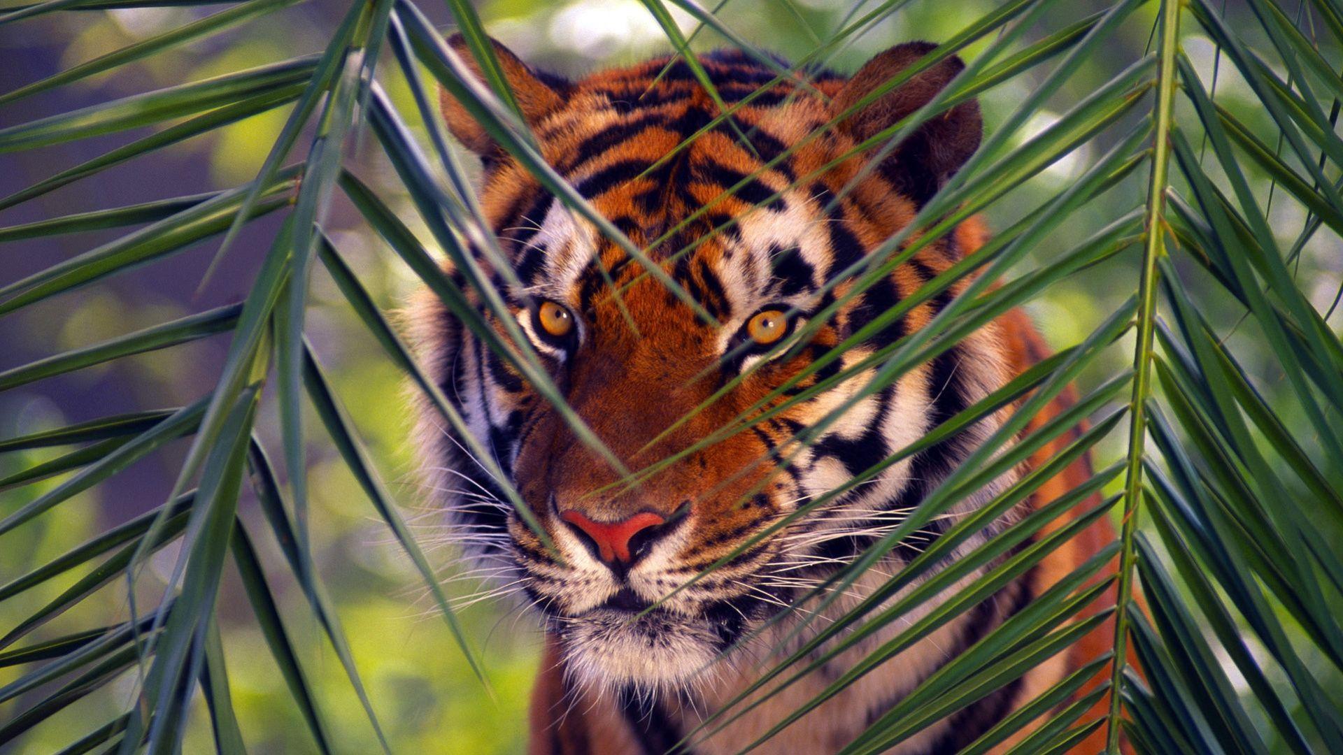 Tiger hid, Free Download Wallpaper