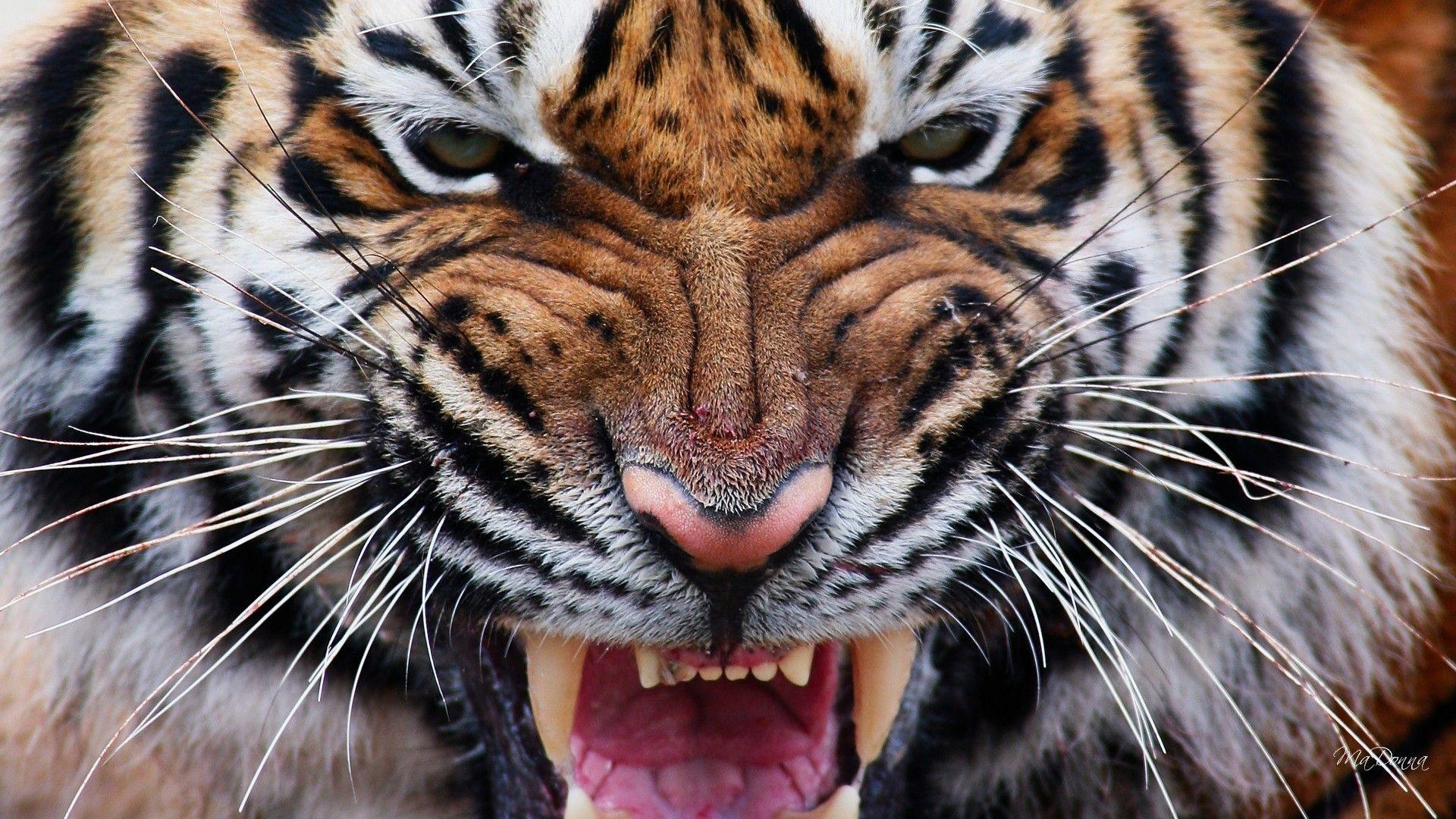 Tiger roars, HD Wallpaper