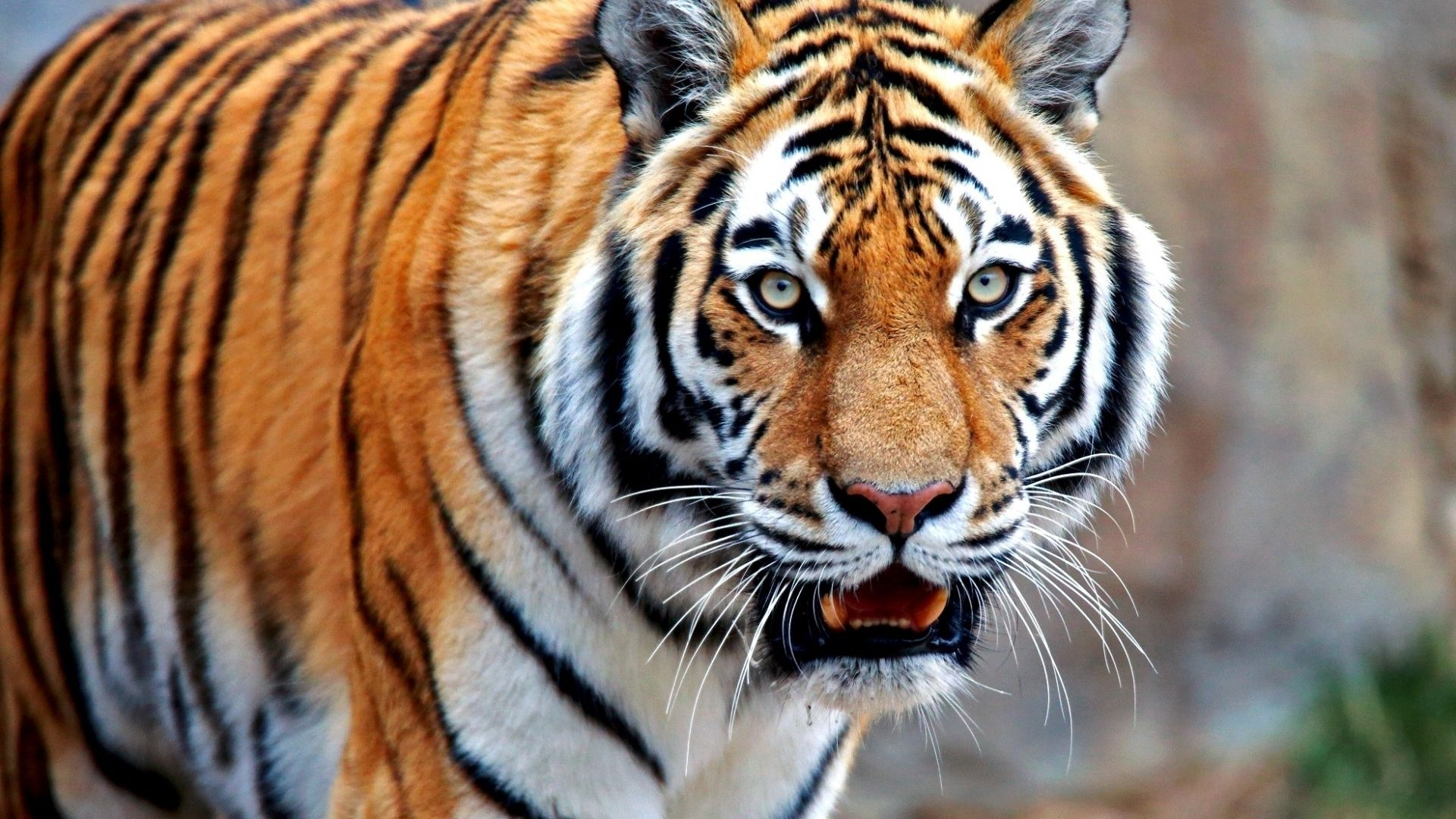 Tiger is hot, 1080p Wallpaper