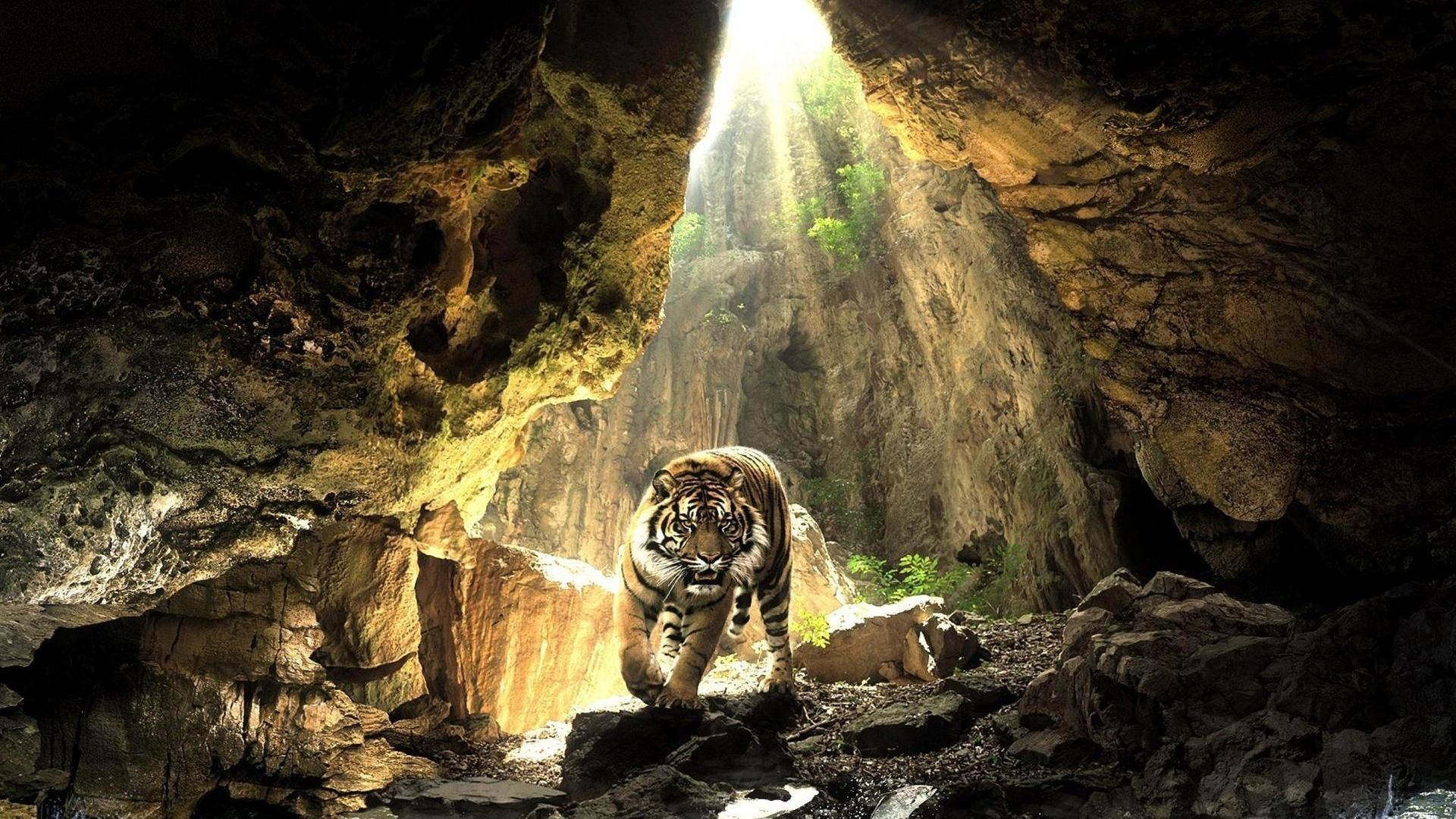 Tiger in the cave, HD Wallpaper