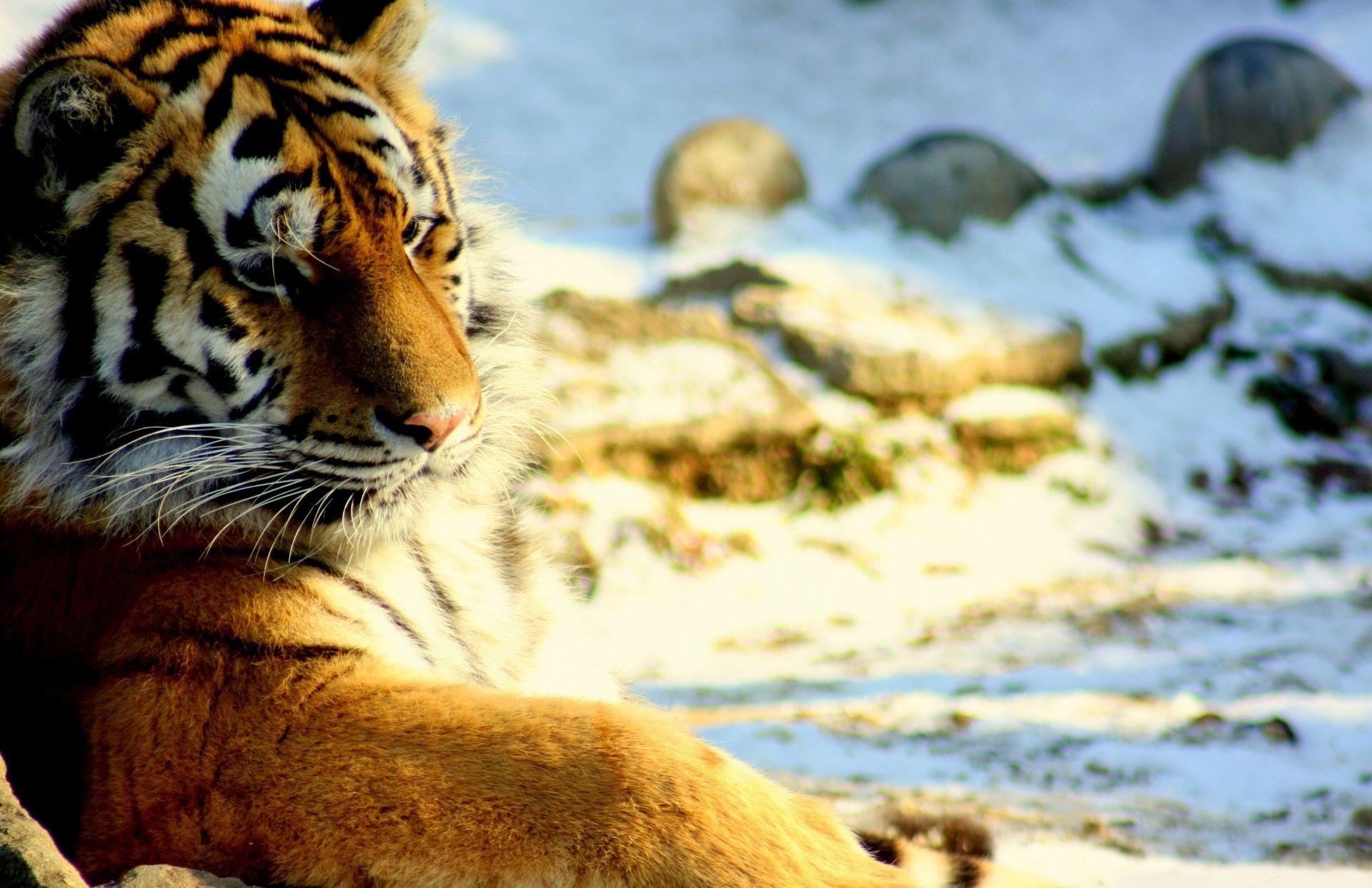 Tiger, Download Wallpaper