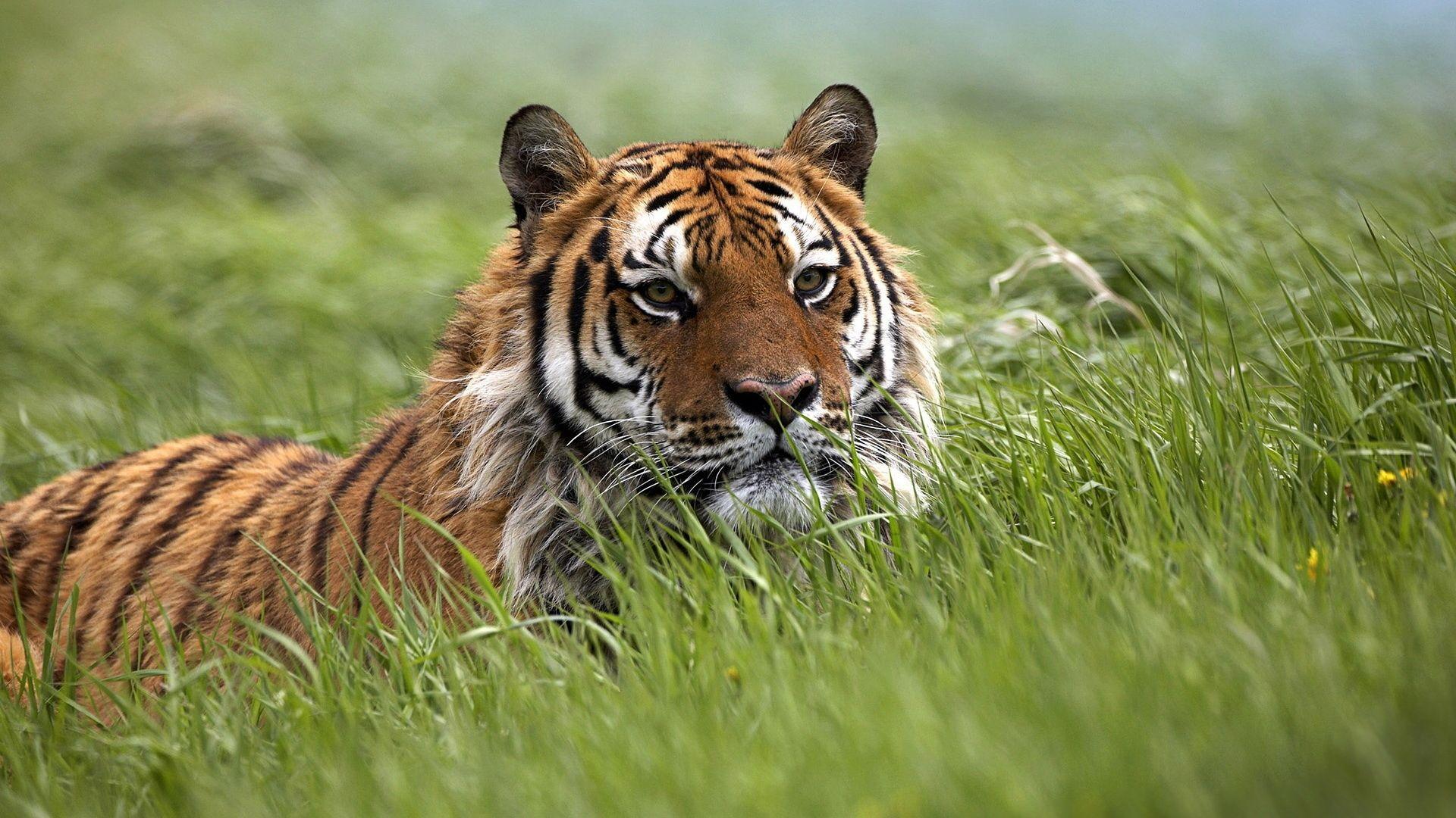 Tiger lies in the grass, Full HD Wallpaper