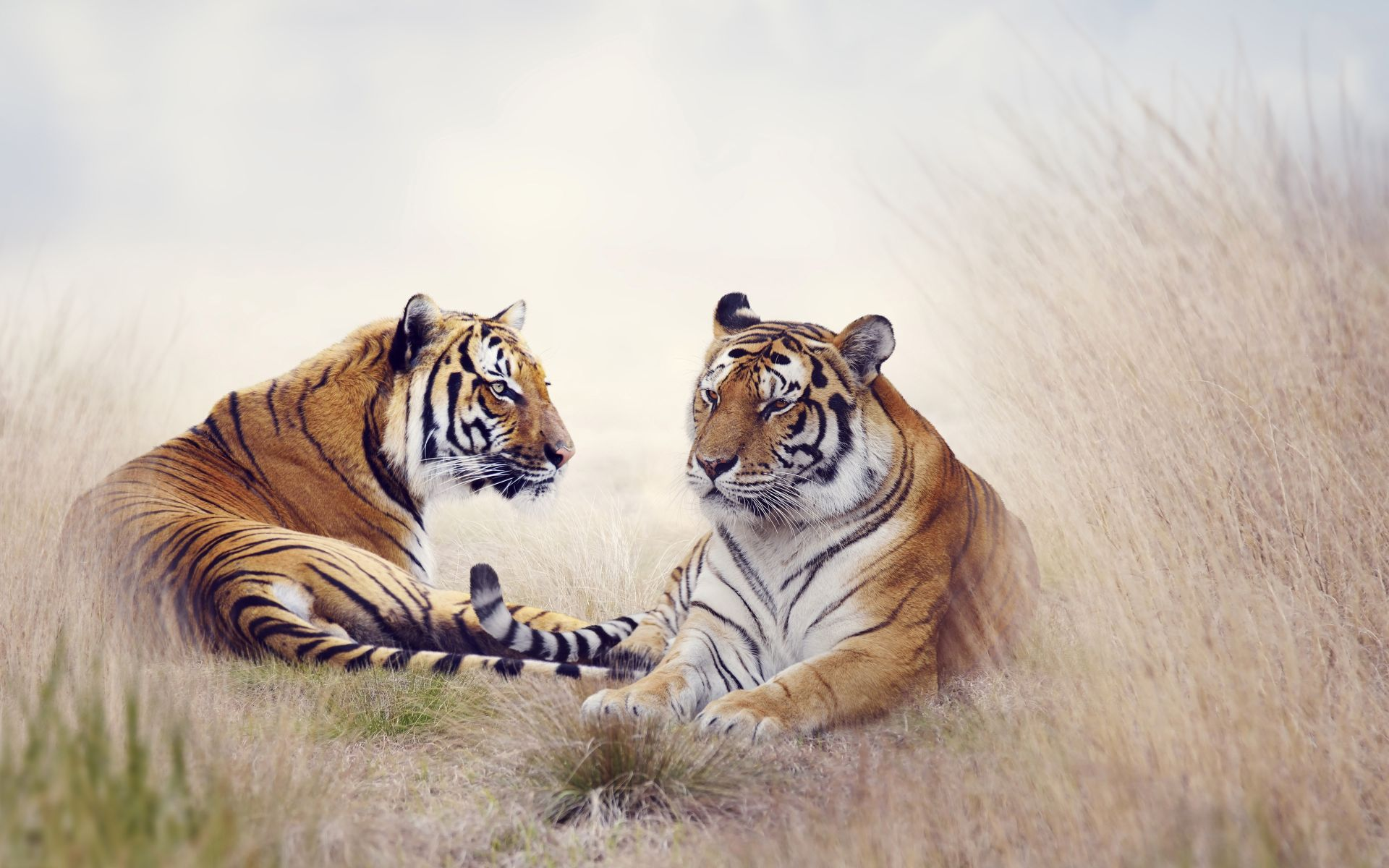 Two Tigers, Pic