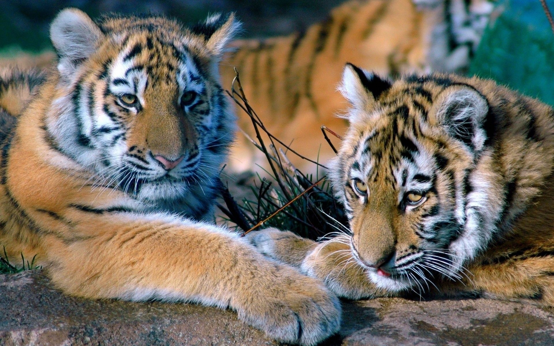 Two Tigers, Best Wallpaper