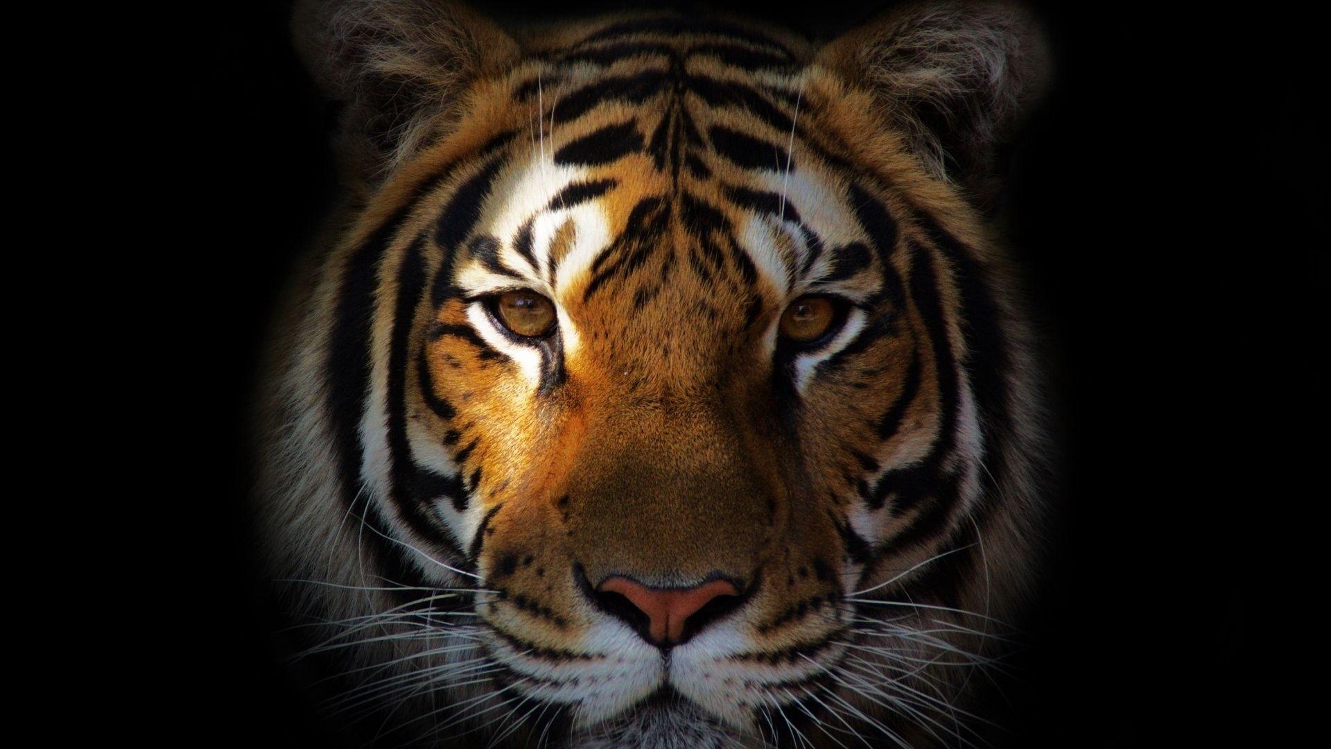 Tiger, PC Wallpaper HD