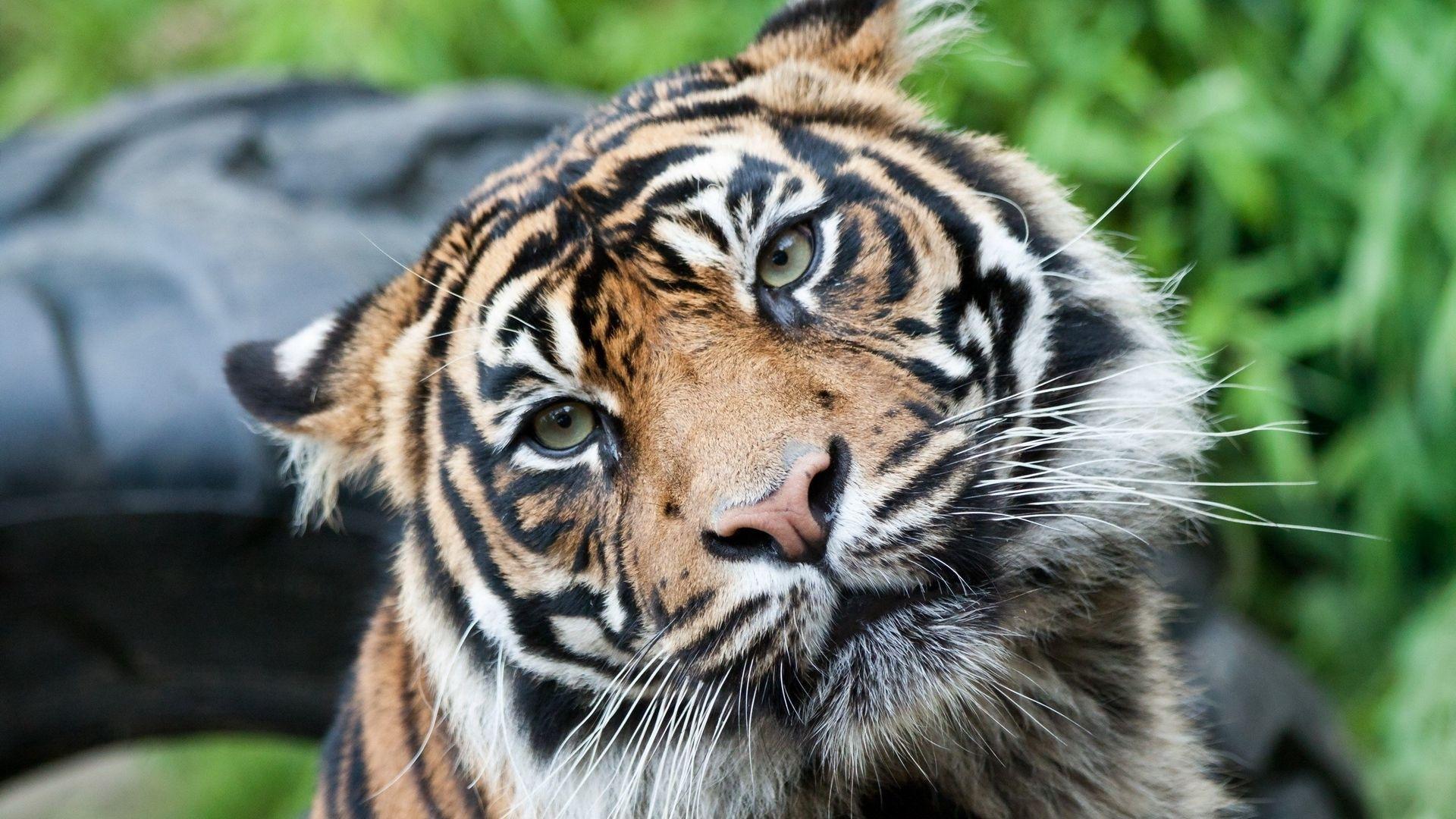 Tiger, Free Desktop Wallpaper