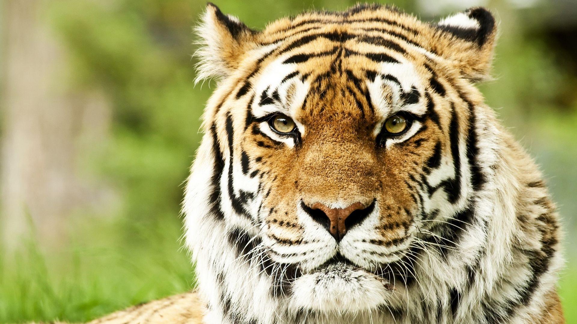 Tiger, Full HD Wallpaper