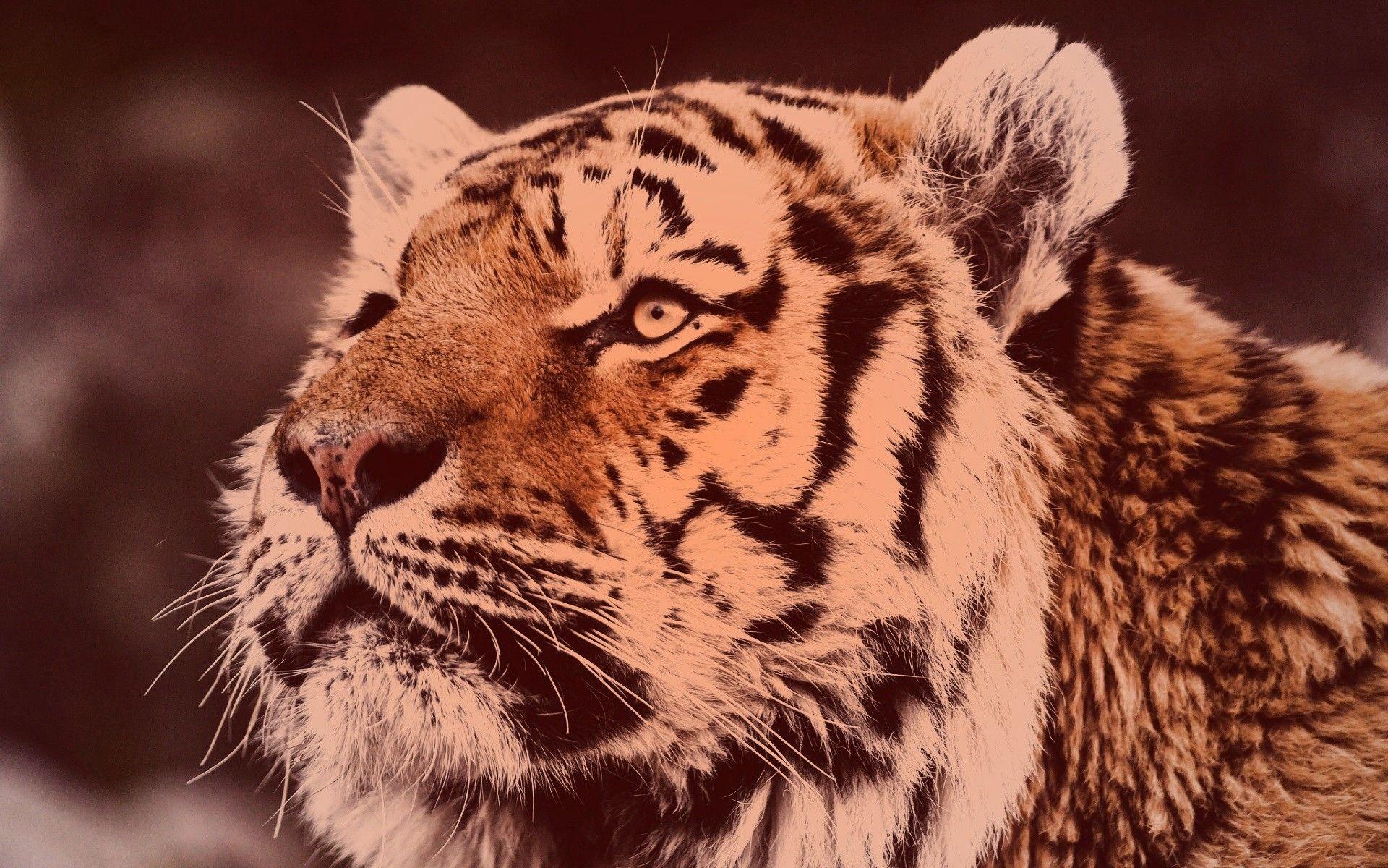 Tiger, Good Wallpaper