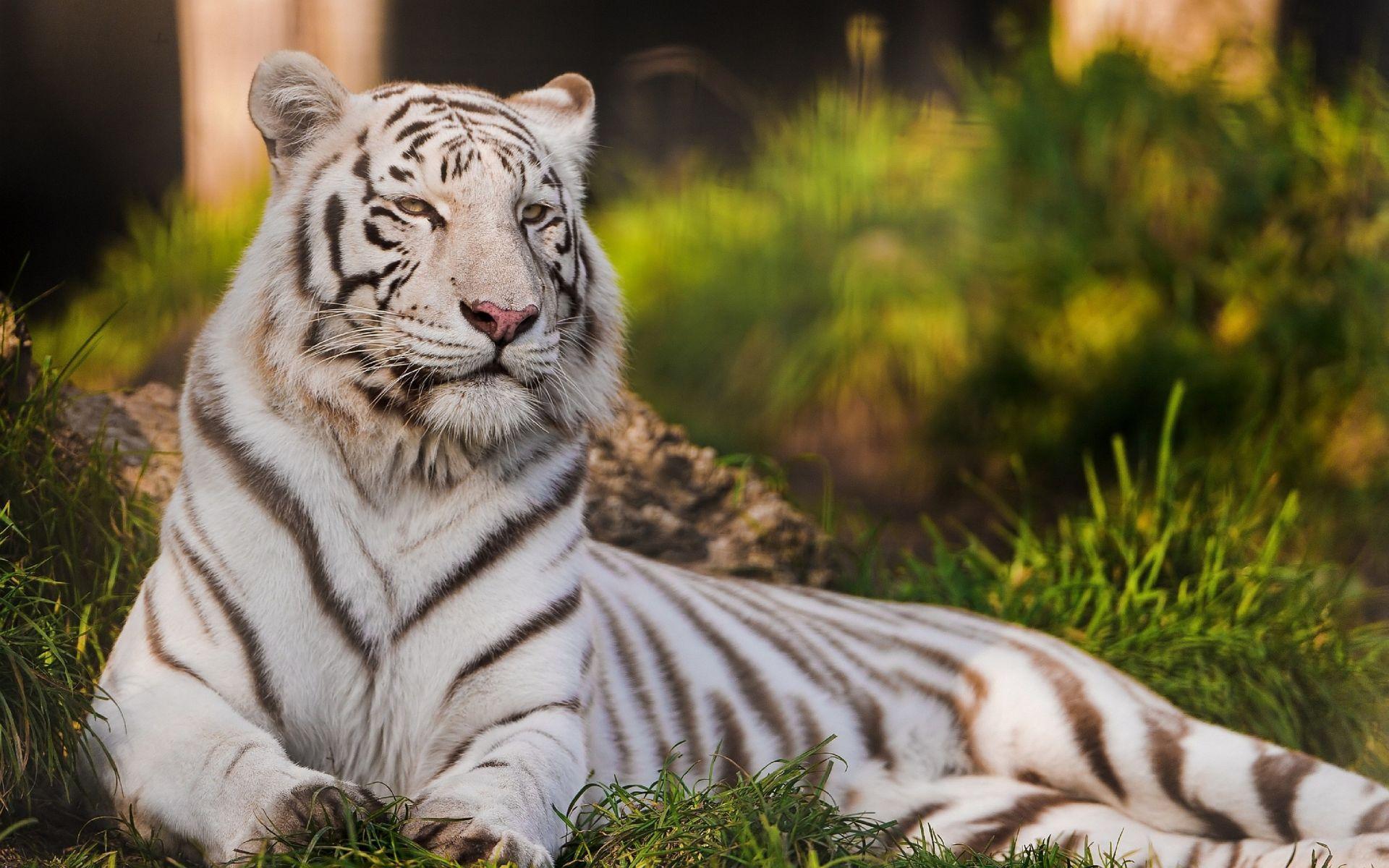 White Tiger, Wallpaper Theme