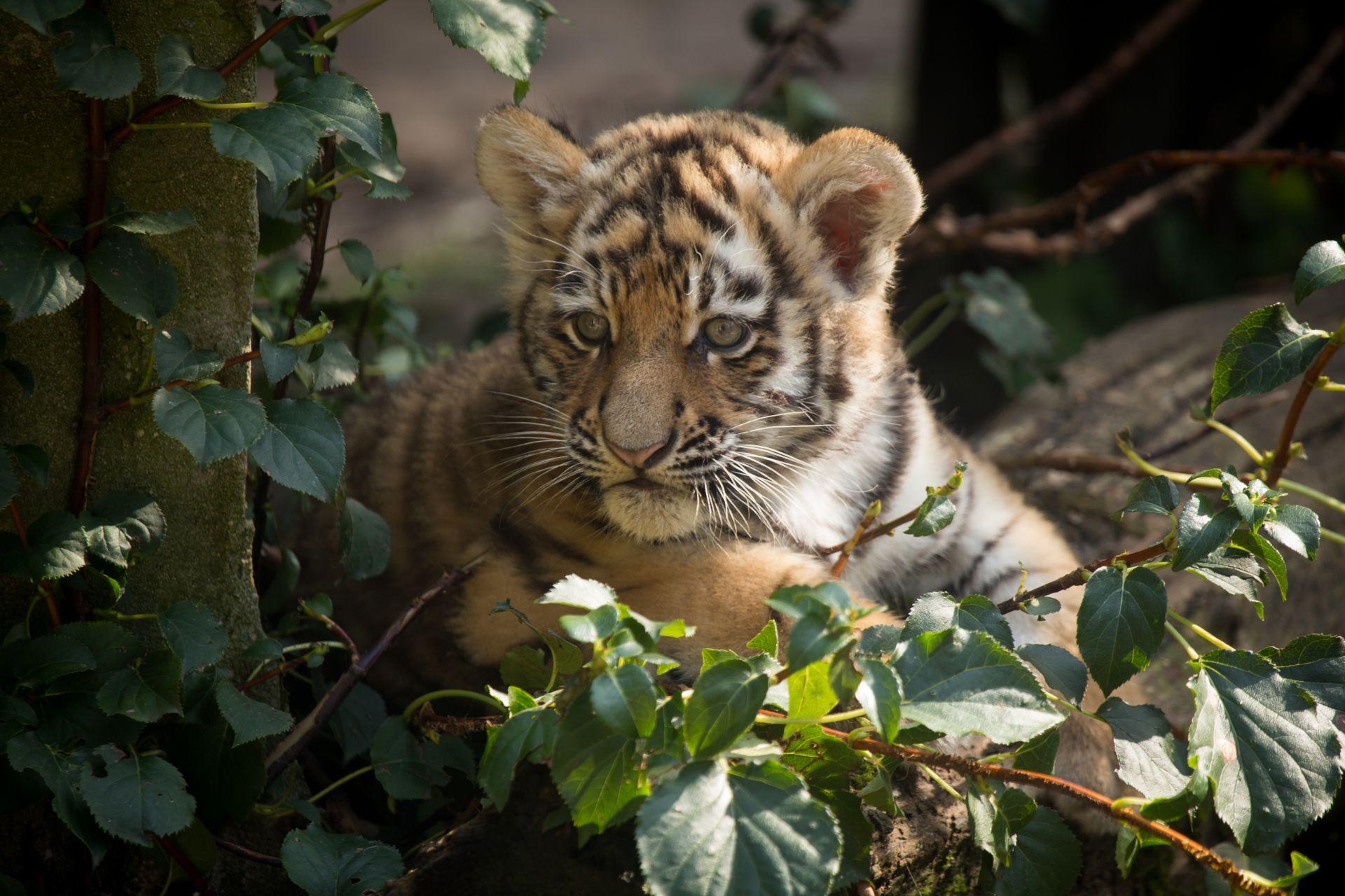 Tiger Baby, Download Wallpaper