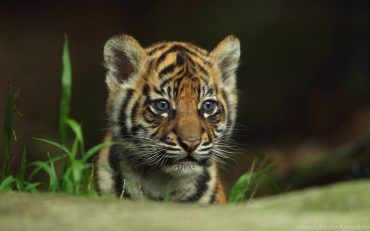 Tiger Baby, Cool Wallpaper