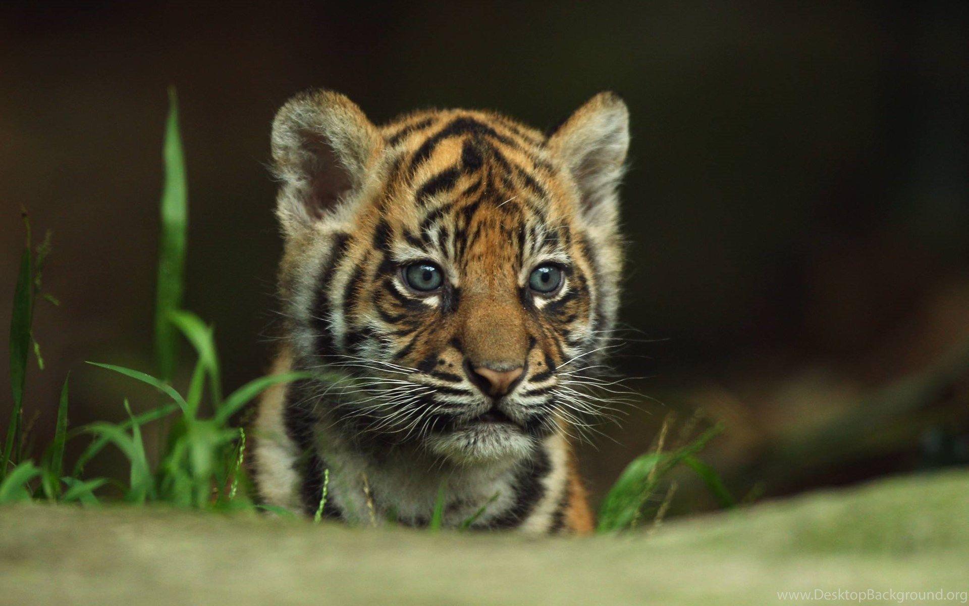 Tiger Baby, Cool Wallpaper