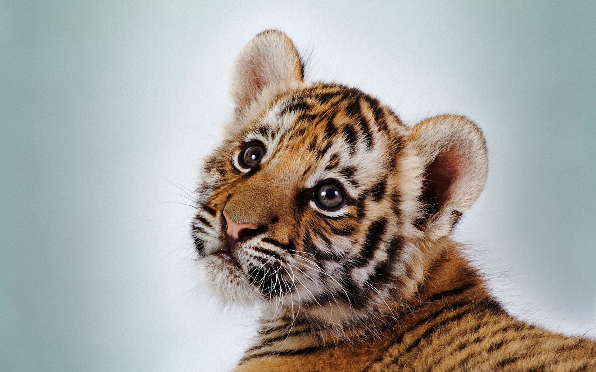Tiger Baby, Picture