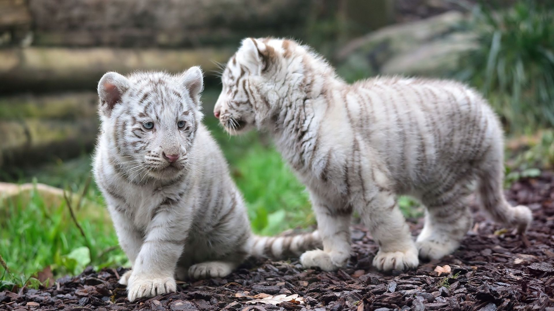 White Tiger Baby, Picture