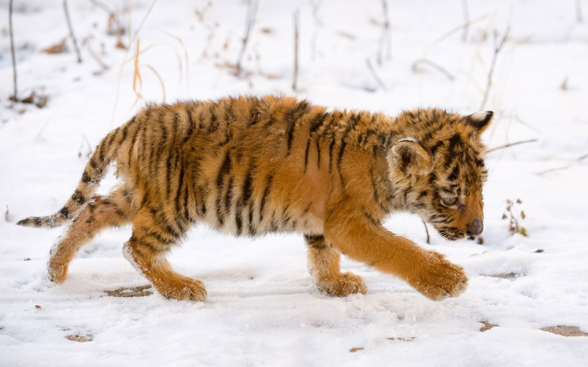 Tiger Baby, snow, Wallpaper and Background