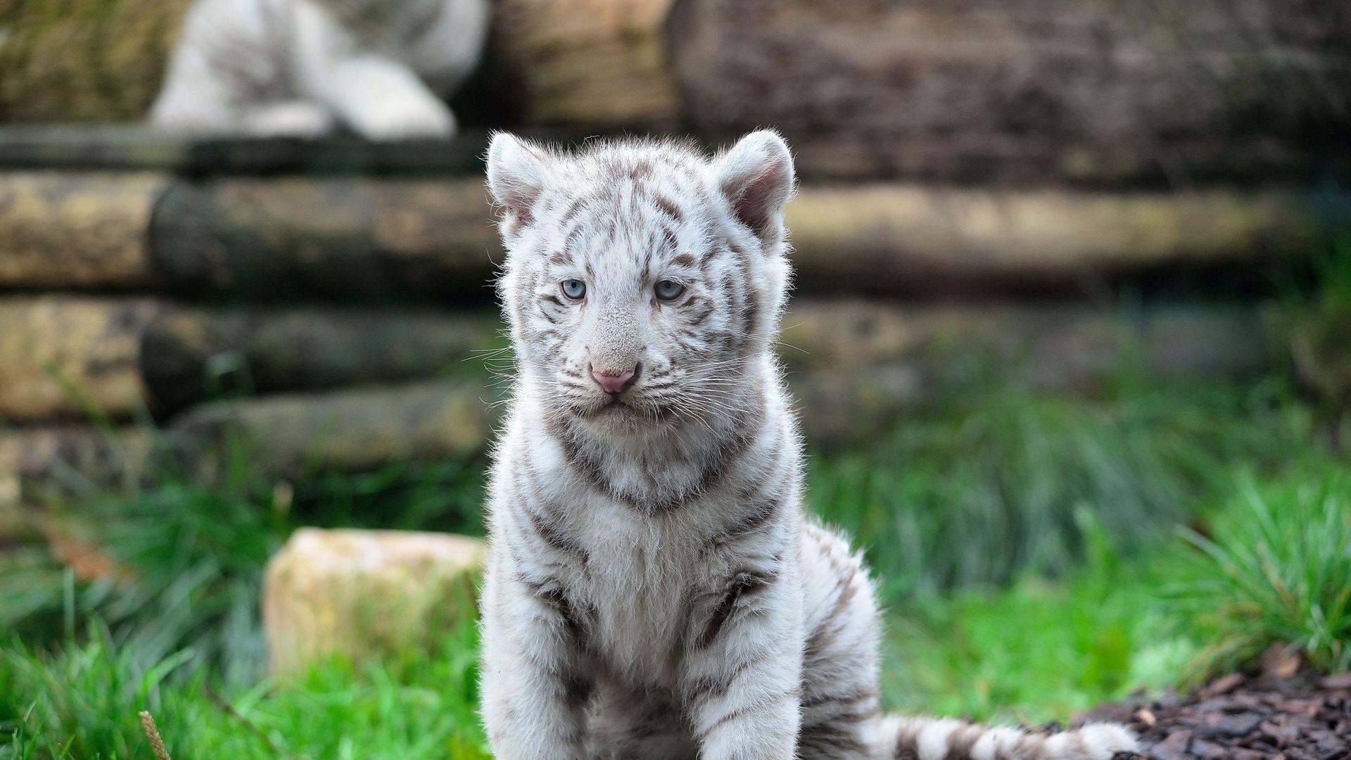 White Tiger Baby, HD Desktop Wallpaper