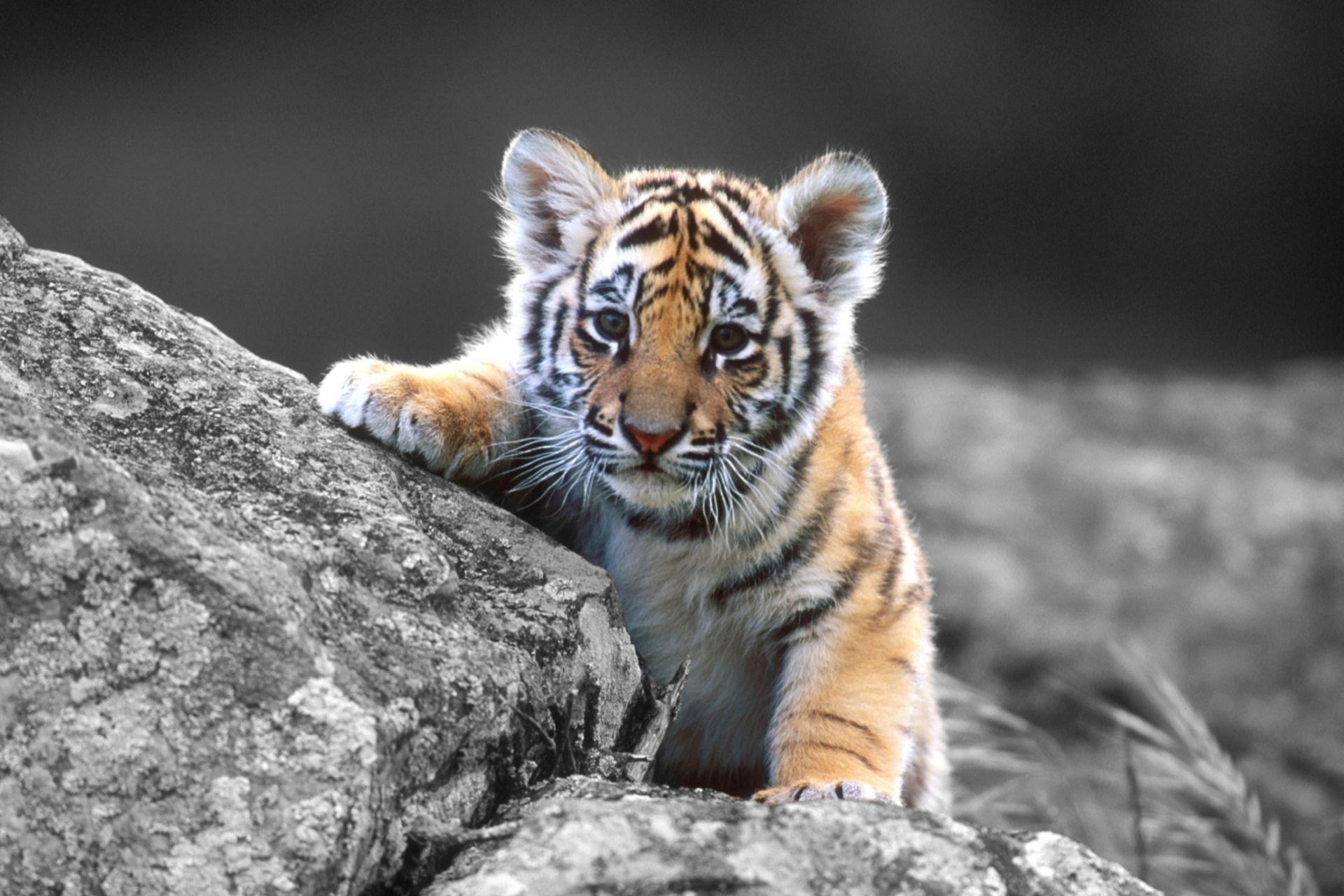 Tiger Baby, Nice Wallpaper