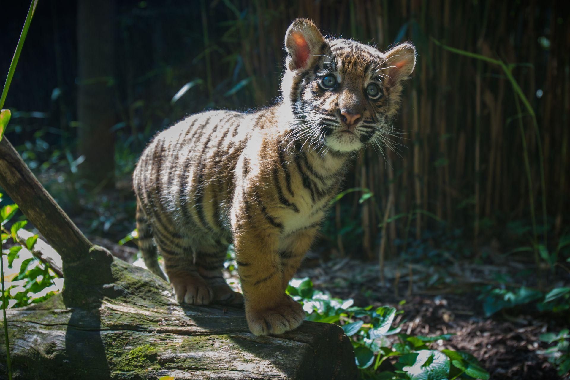 Tiger Baby, 1080p Wallpaper