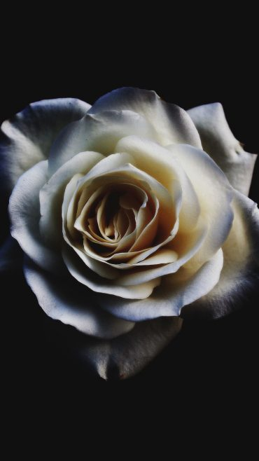 wallpaper white rose flower beauty