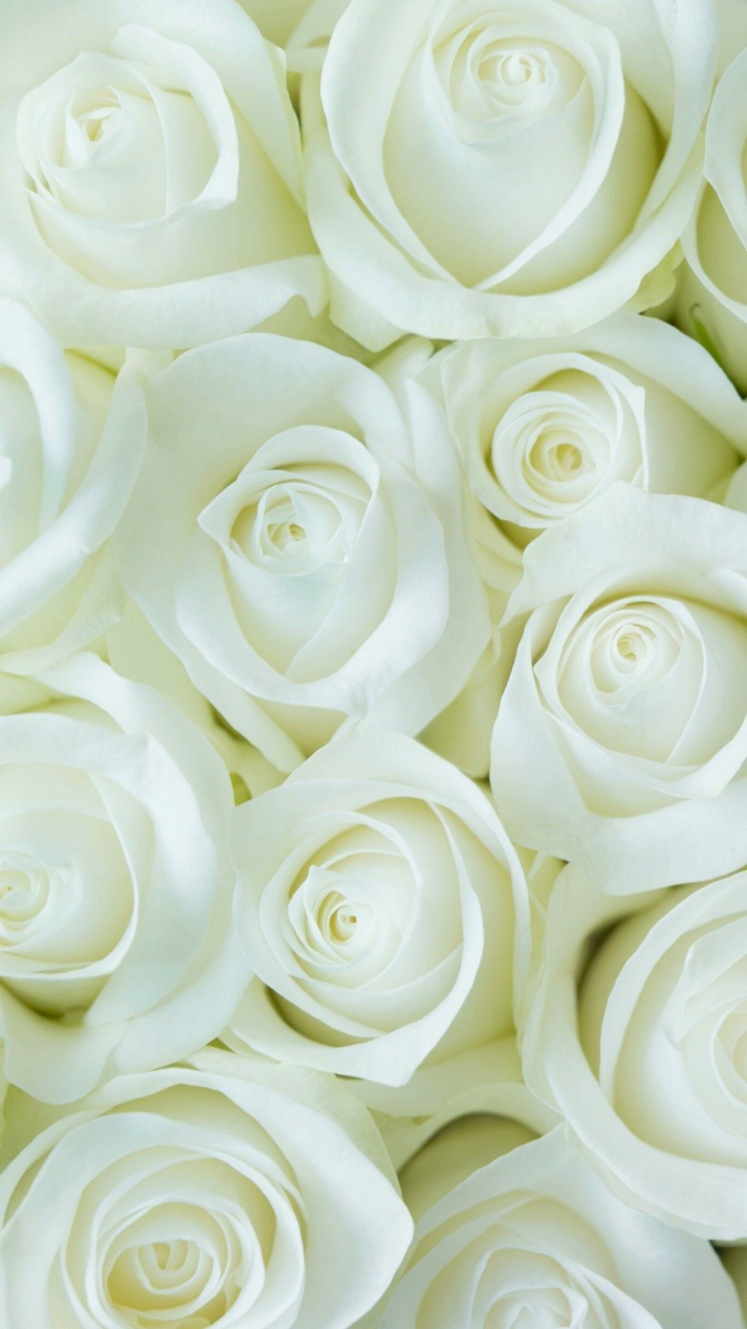 wallpaper flower white rose love