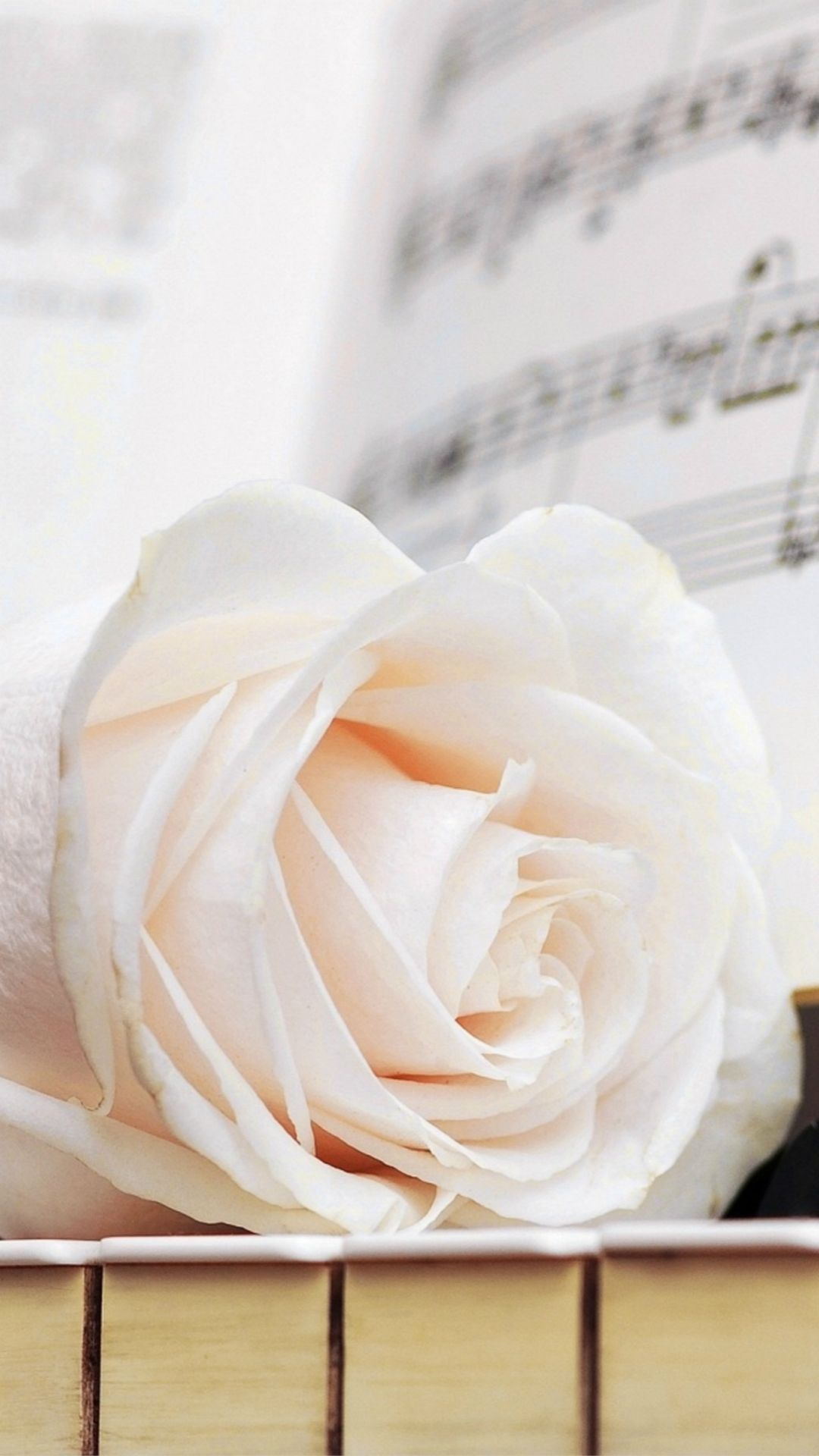 white rose images wallpaper