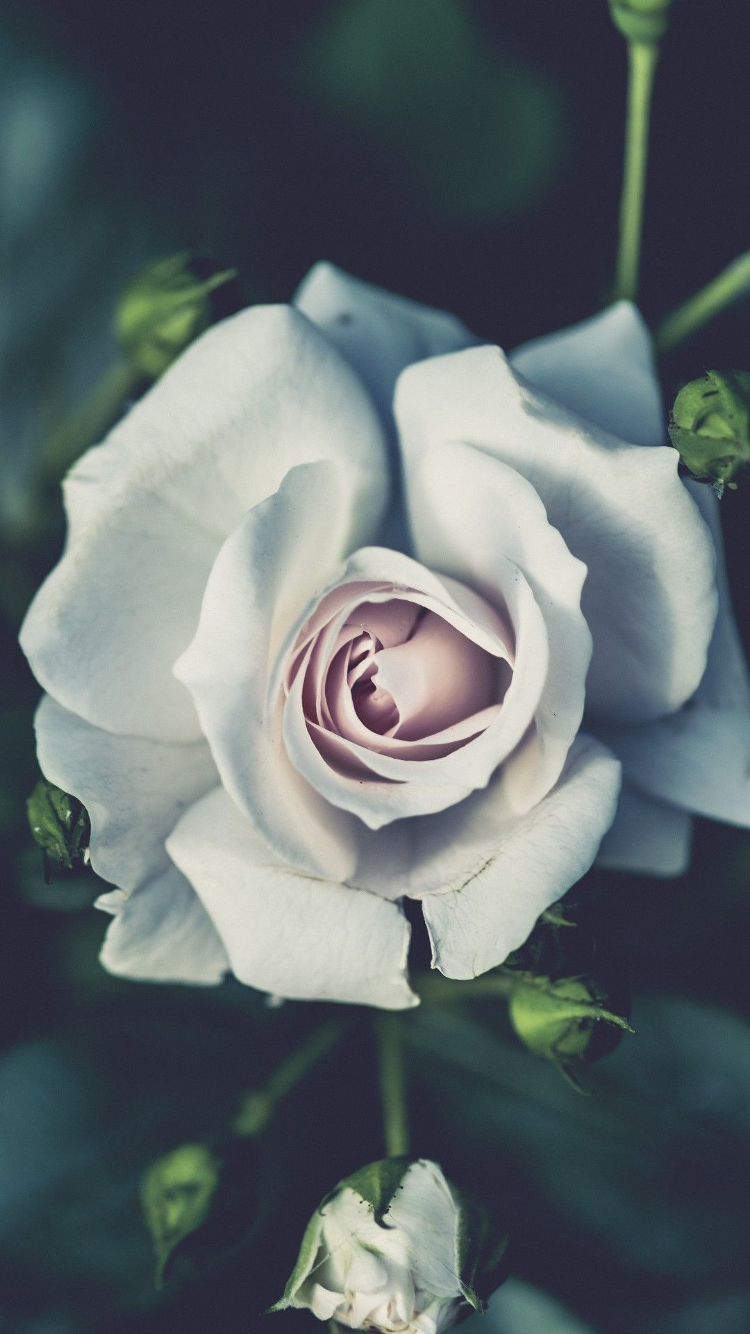 white rose wallpaper for mobile