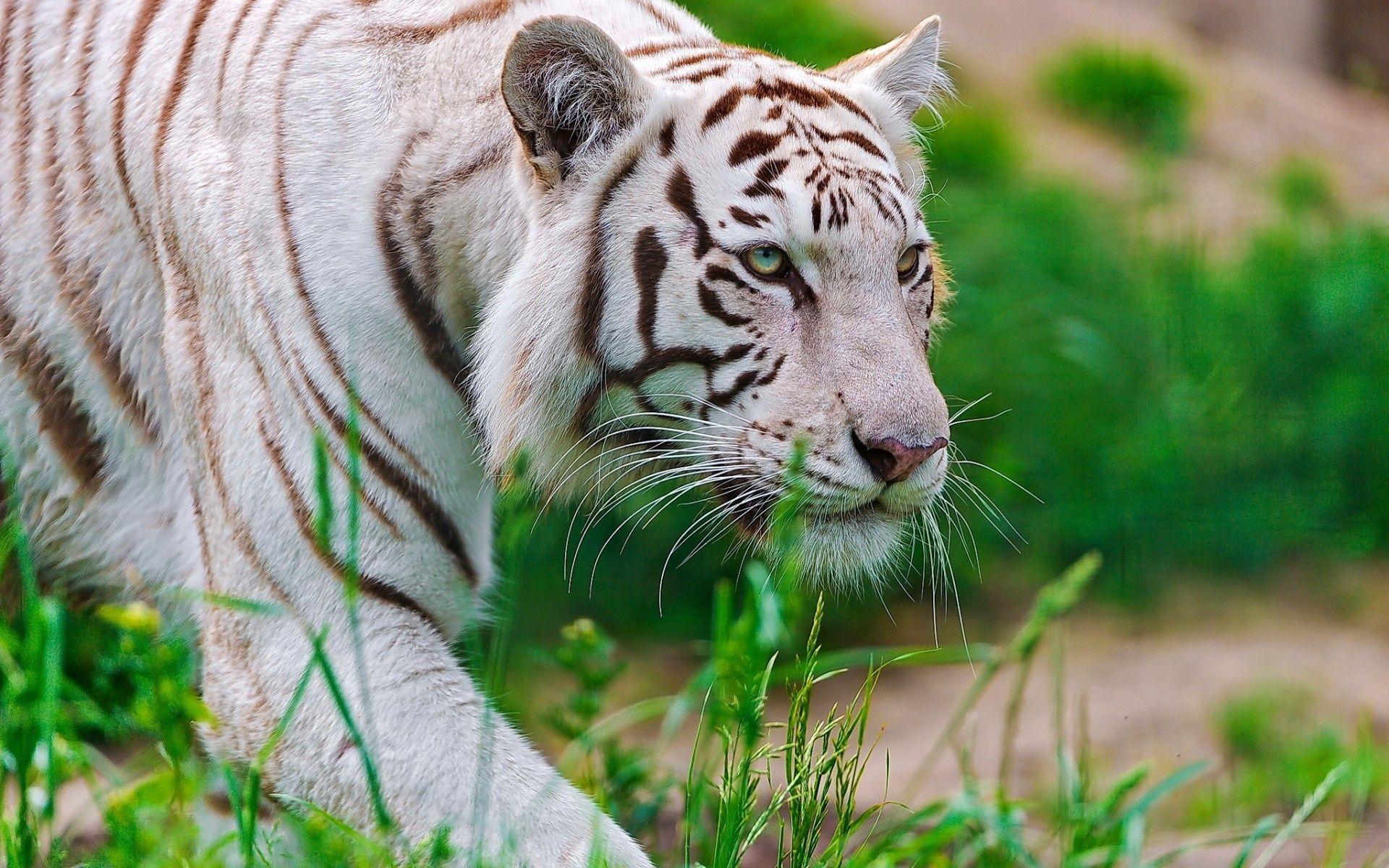 White Tiger, Nice Wallpaper