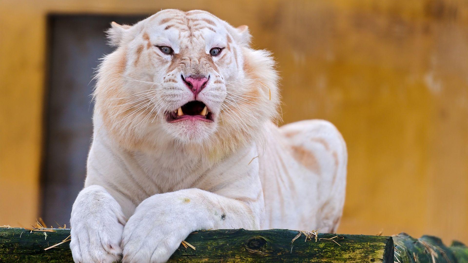 White Tiger, Cool Wallpaper
