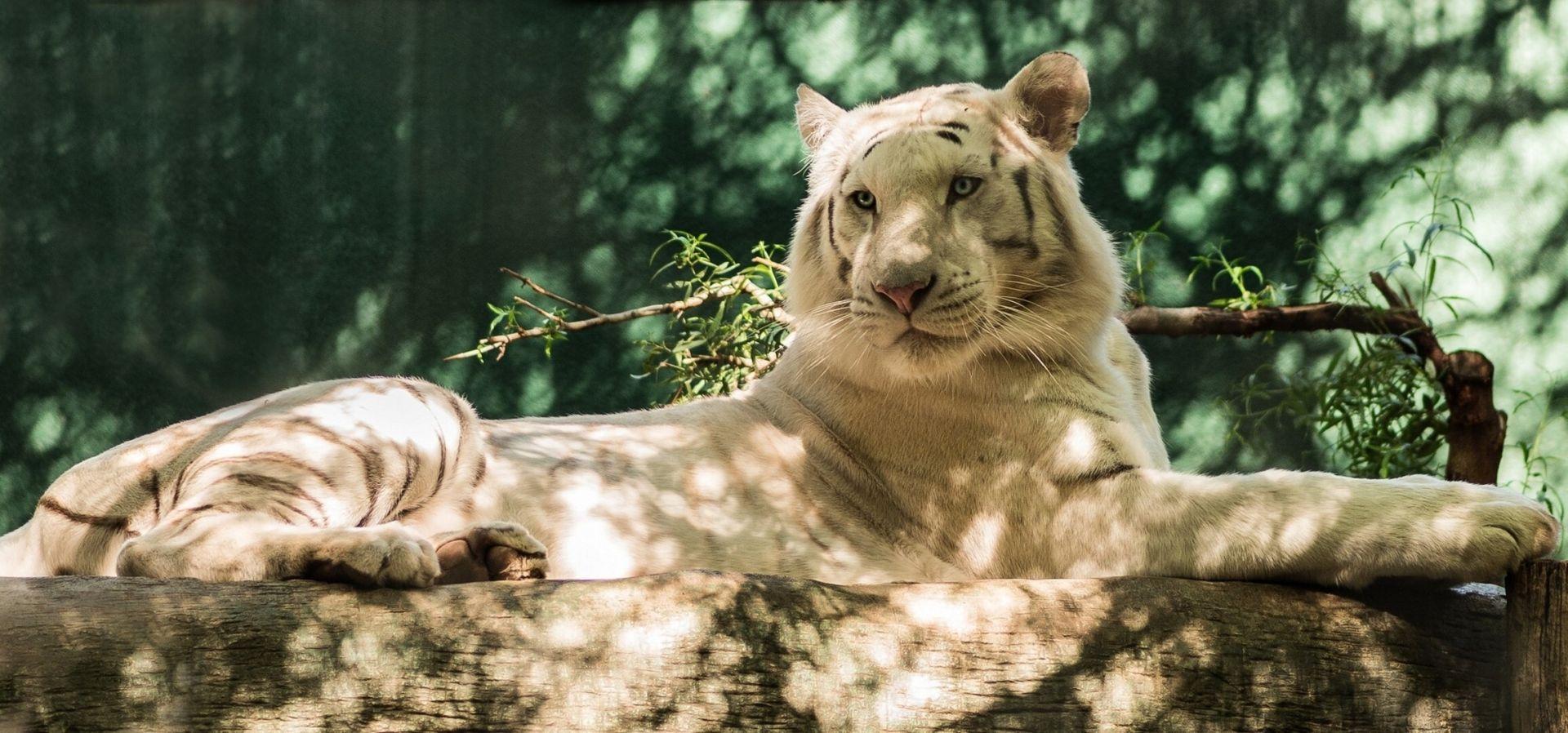 White Tiger, Computer Wallpaper
