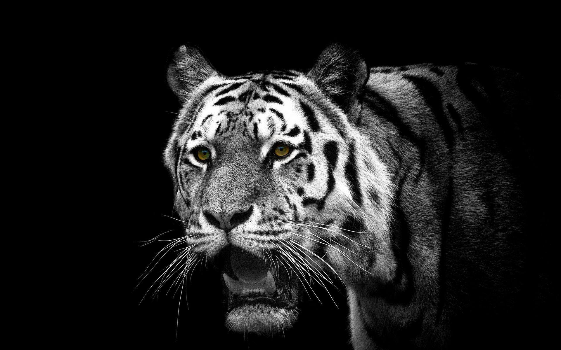 White Tiger, Free Wallpaper and Background