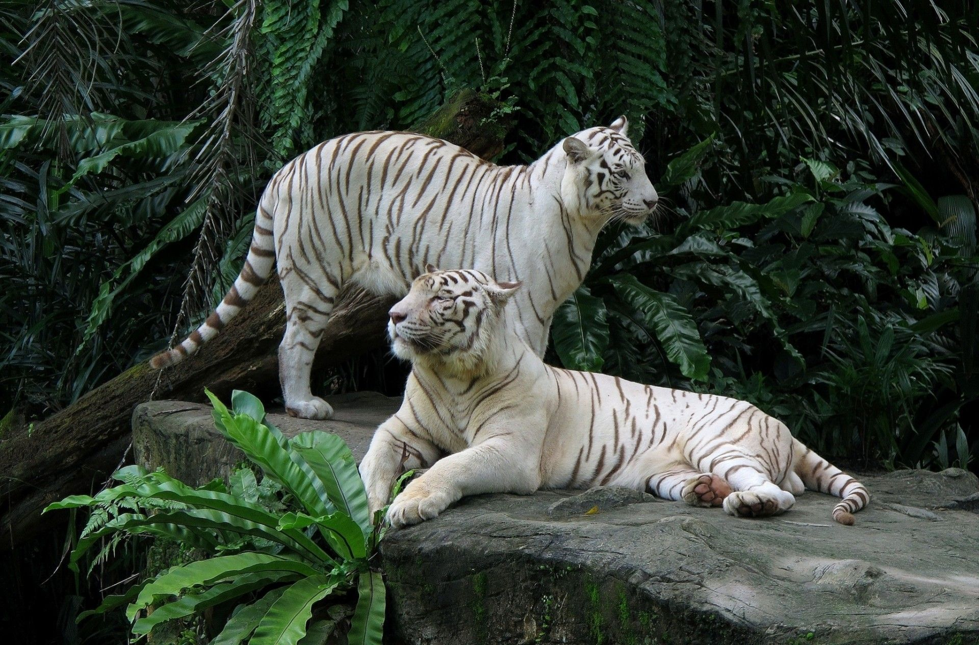Two White Tigers, Background Wallpaper