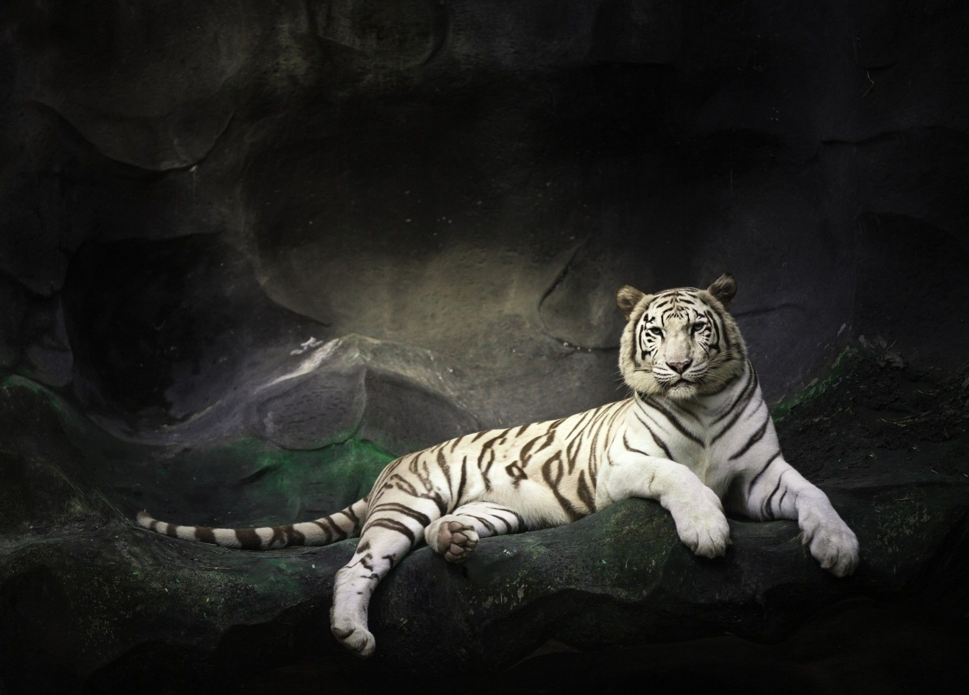 White Tiger resting, New Wallpaper