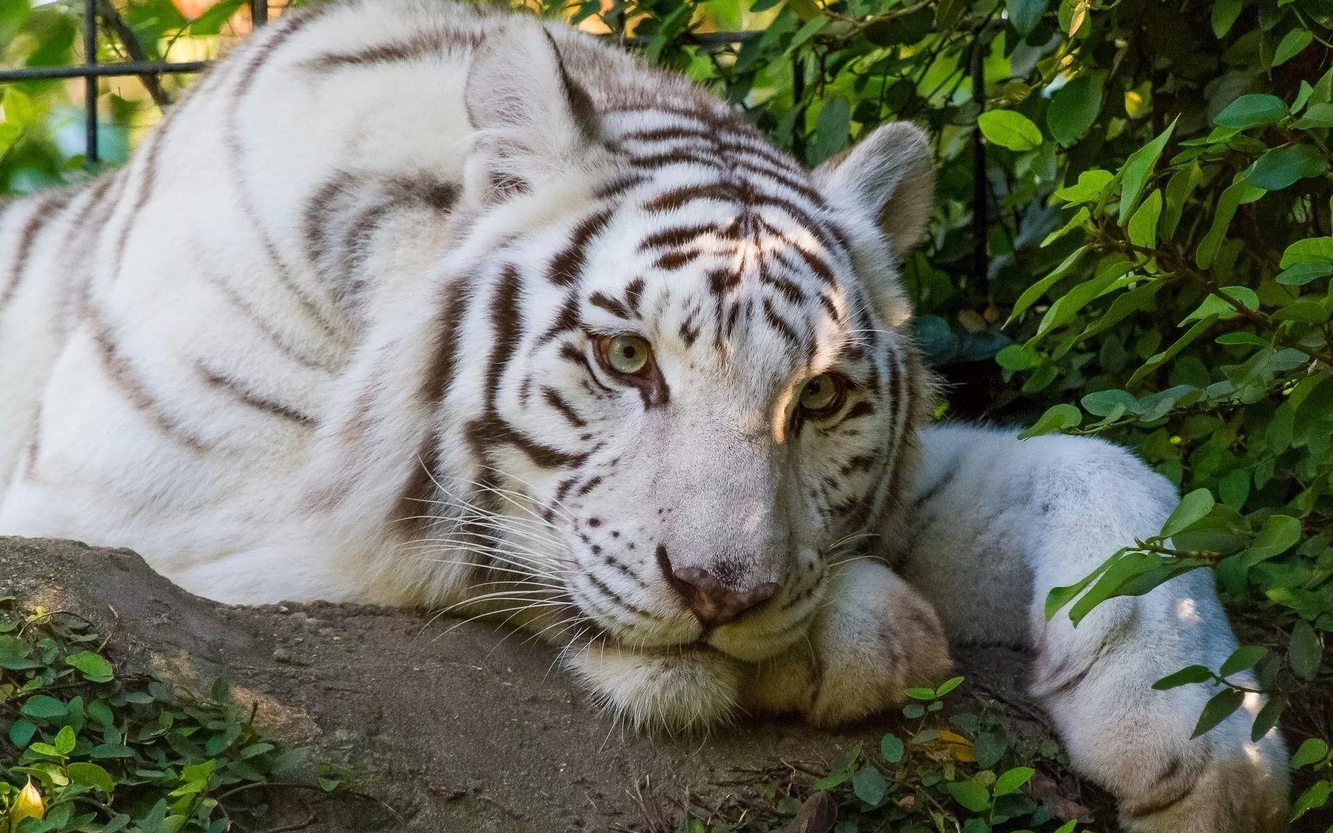 White Tiger, Cool HD Wallpaper